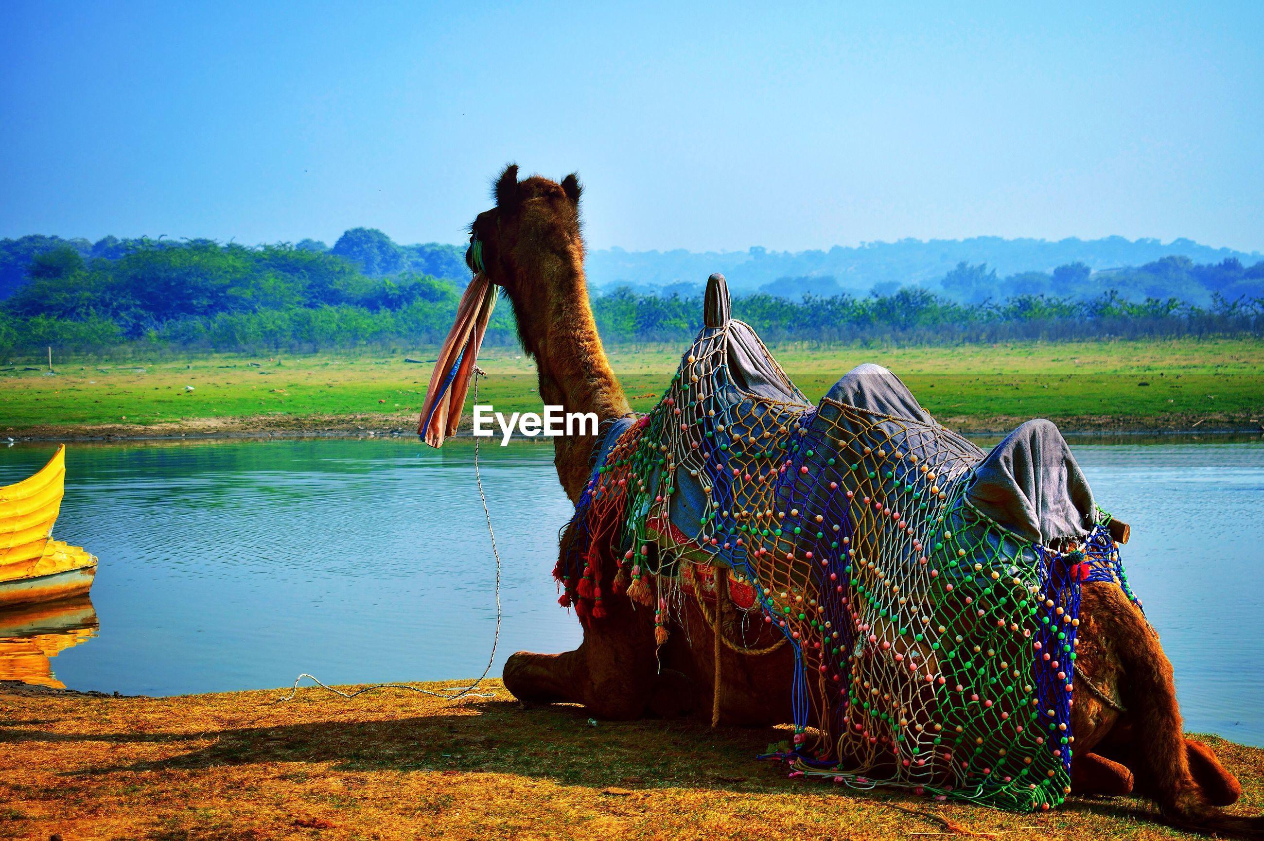 Camel sitting on lakeshore