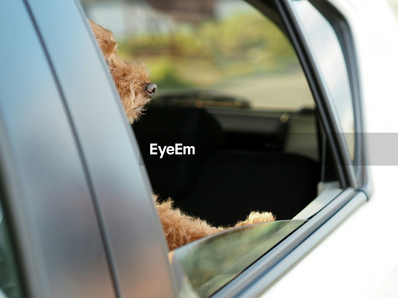 Side view of dog looking though car window
