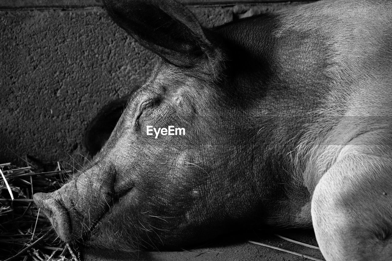Close-Up Of Pig Sleeping In Barn