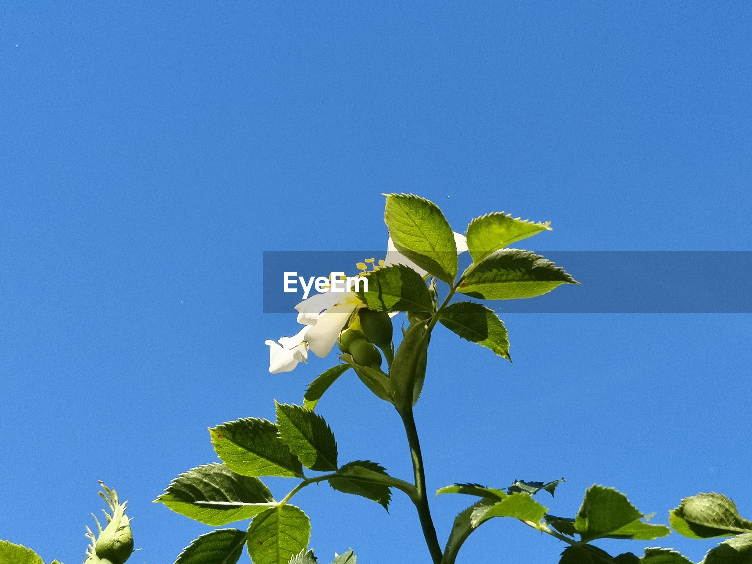 LOW ANGLE VIEW OF GREEN LEAVES AGAINST CLEAR BLUE SKY