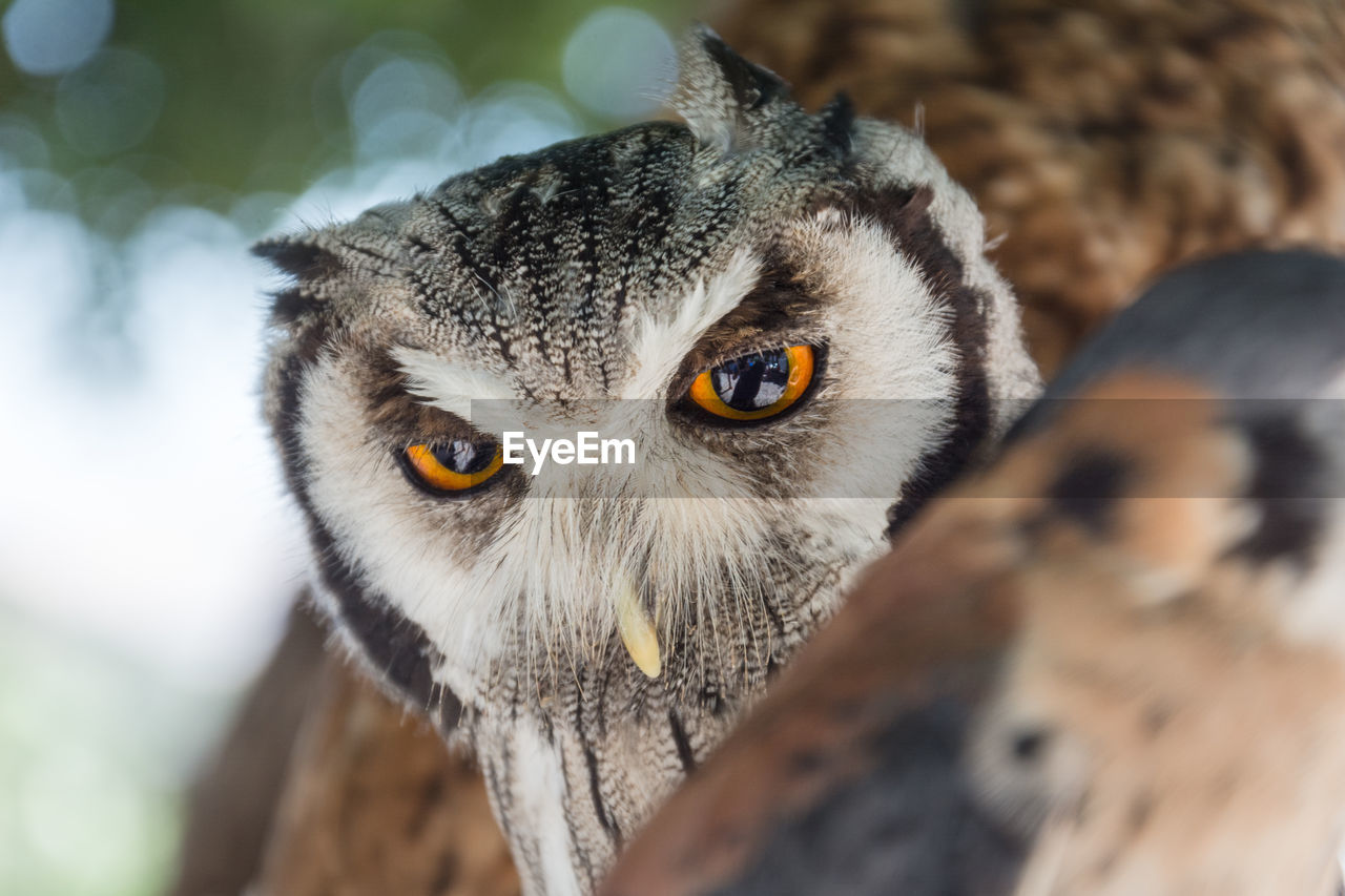 Close-Up Of Eurasian Eagle Owl