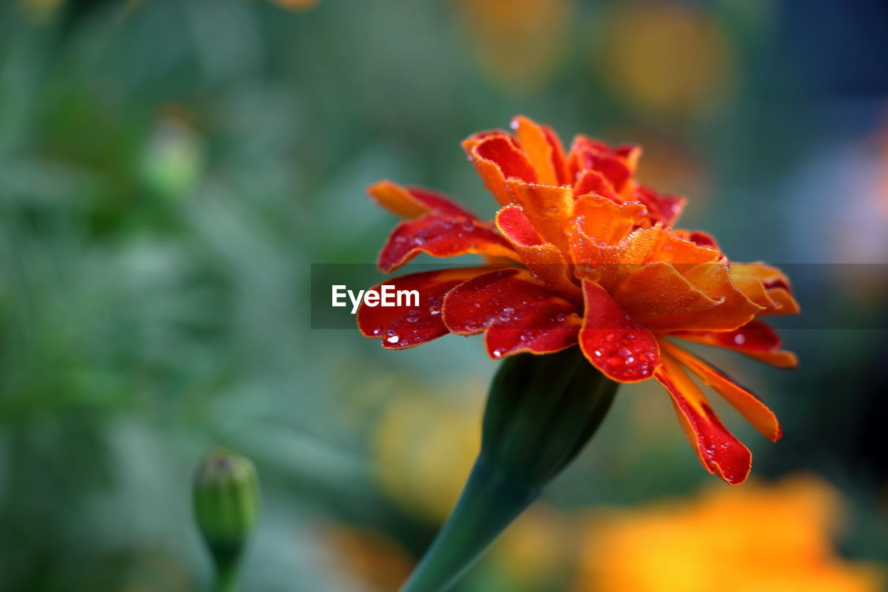 flower, red, growth, beauty in nature, nature, petal, water, drop, fragility, wet, focus on foreground, flower head, freshness, plant, blooming, no people, outdoors, close-up, day