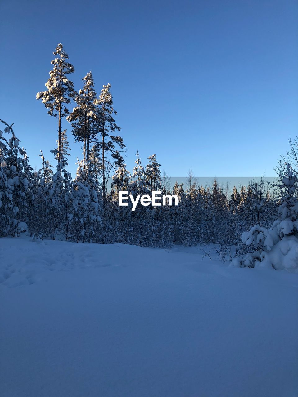 cold temperature, winter, snow, plant, tree, sky, beauty in nature, tranquility, clear sky, nature, scenics - nature, tranquil scene, no people, covering, land, copy space, day, field, blue, outdoors, pine tree, coniferous tree