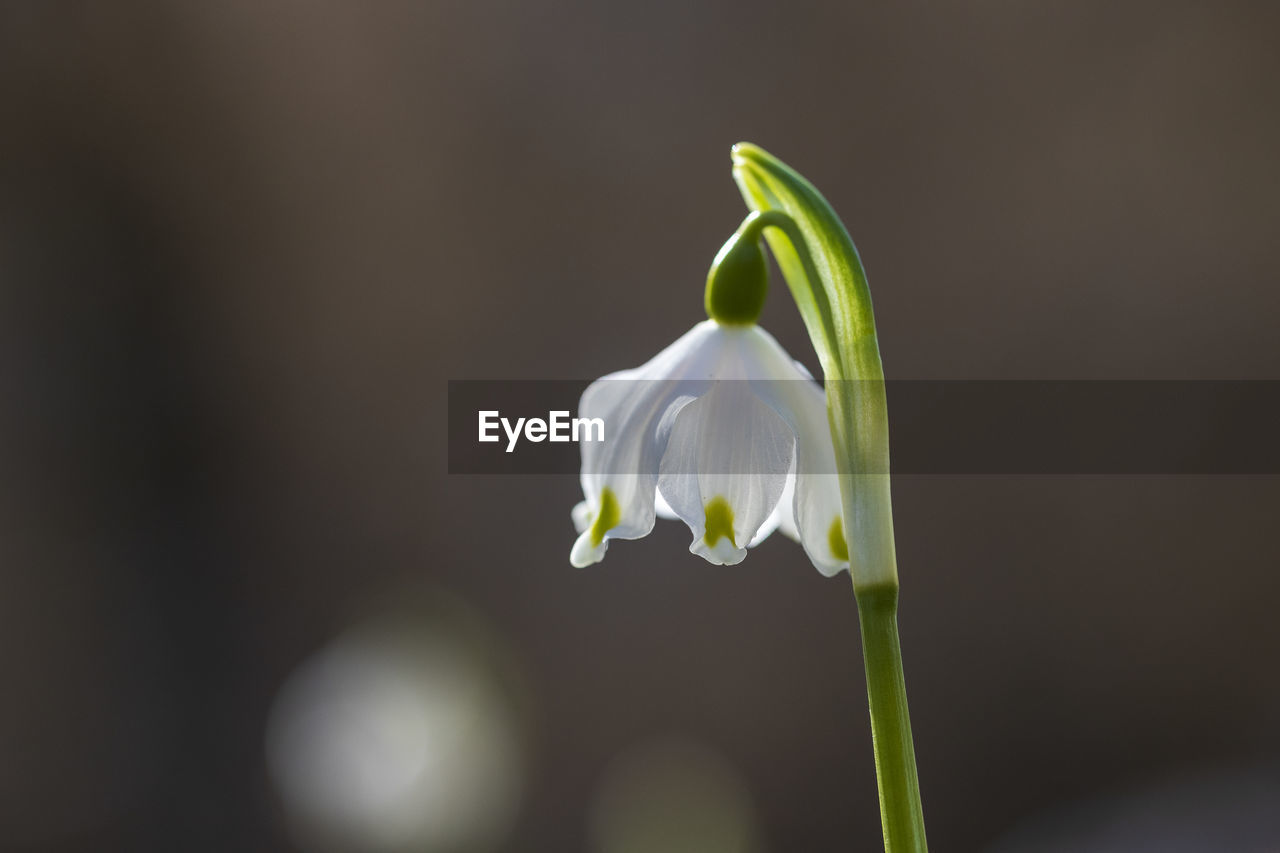 vulnerability, fragility, flower, flowering plant, plant, petal, freshness, beauty in nature, growth, close-up, flower head, white color, inflorescence, focus on foreground, plant stem, no people, nature, snowdrop, day, outdoors, springtime, pollen