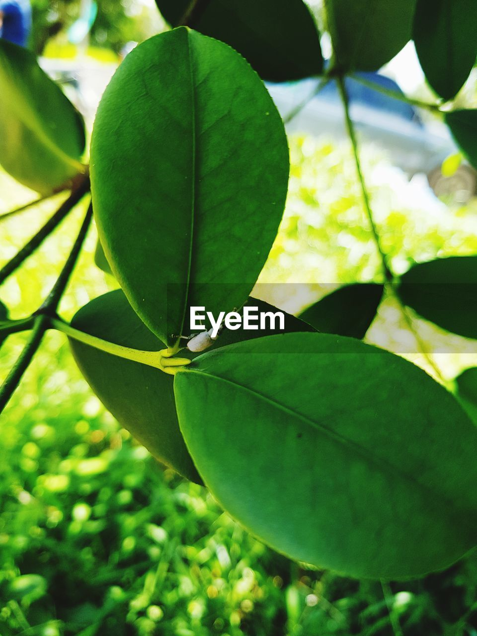 plant part, leaf, green color, plant, growth, close-up, day, nature, no people, beauty in nature, sunlight, focus on foreground, outdoors, freshness, selective focus, tree, fruit, land, high angle view, green, leaves