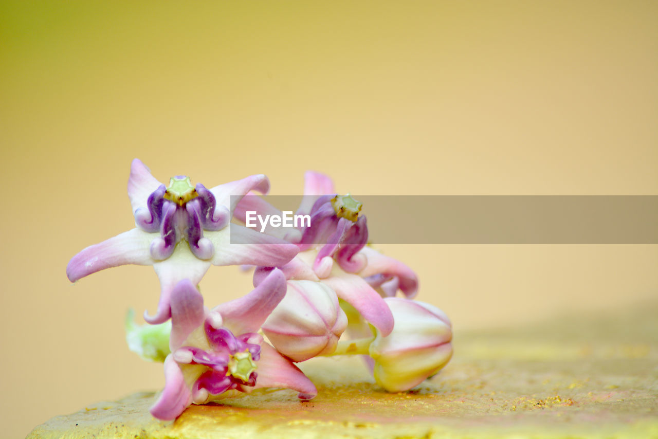 close-up, beauty in nature, flower, pink color, freshness, flowering plant, nature, no people, plant, vulnerability, copy space, fragility, still life, studio shot, selective focus, petal, colored background, growth, inflorescence, outdoors, flower head