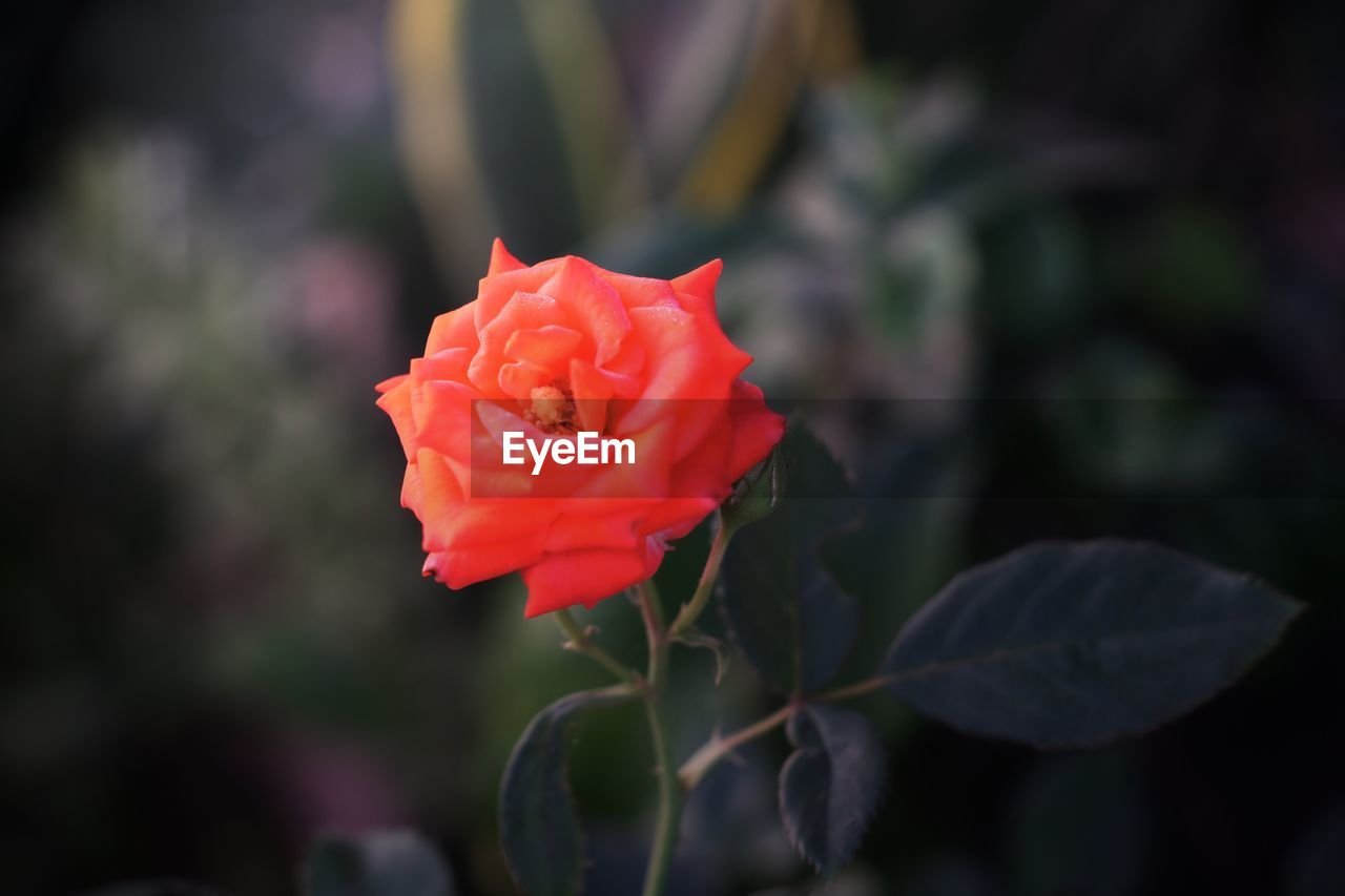 flowering plant, flower, beauty in nature, plant, petal, rose, freshness, fragility, vulnerability, inflorescence, close-up, growth, flower head, rose - flower, nature, focus on foreground, day, plant part, red, no people, outdoors, springtime