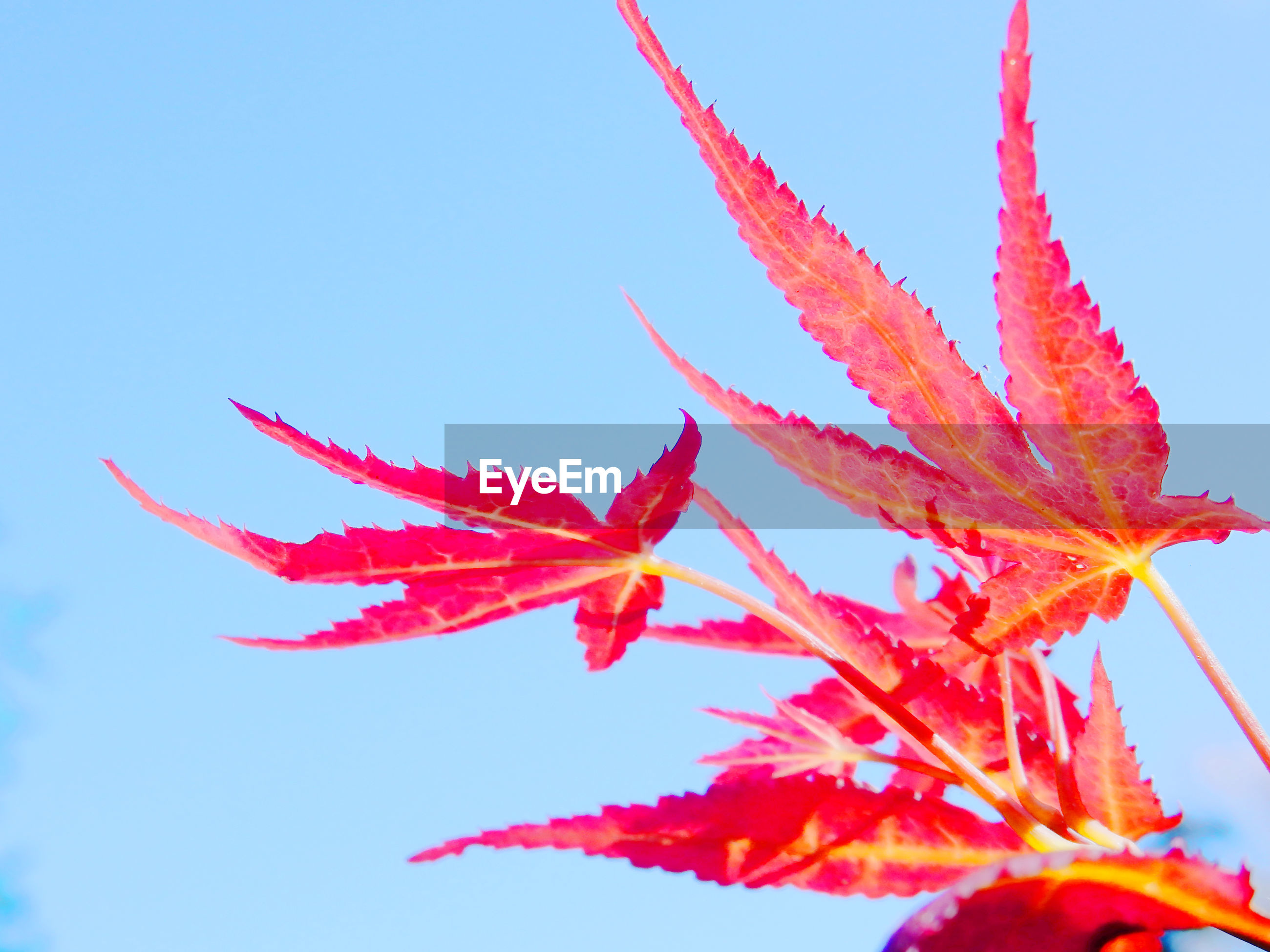 LOW ANGLE VIEW OF RED MAPLE LEAVES