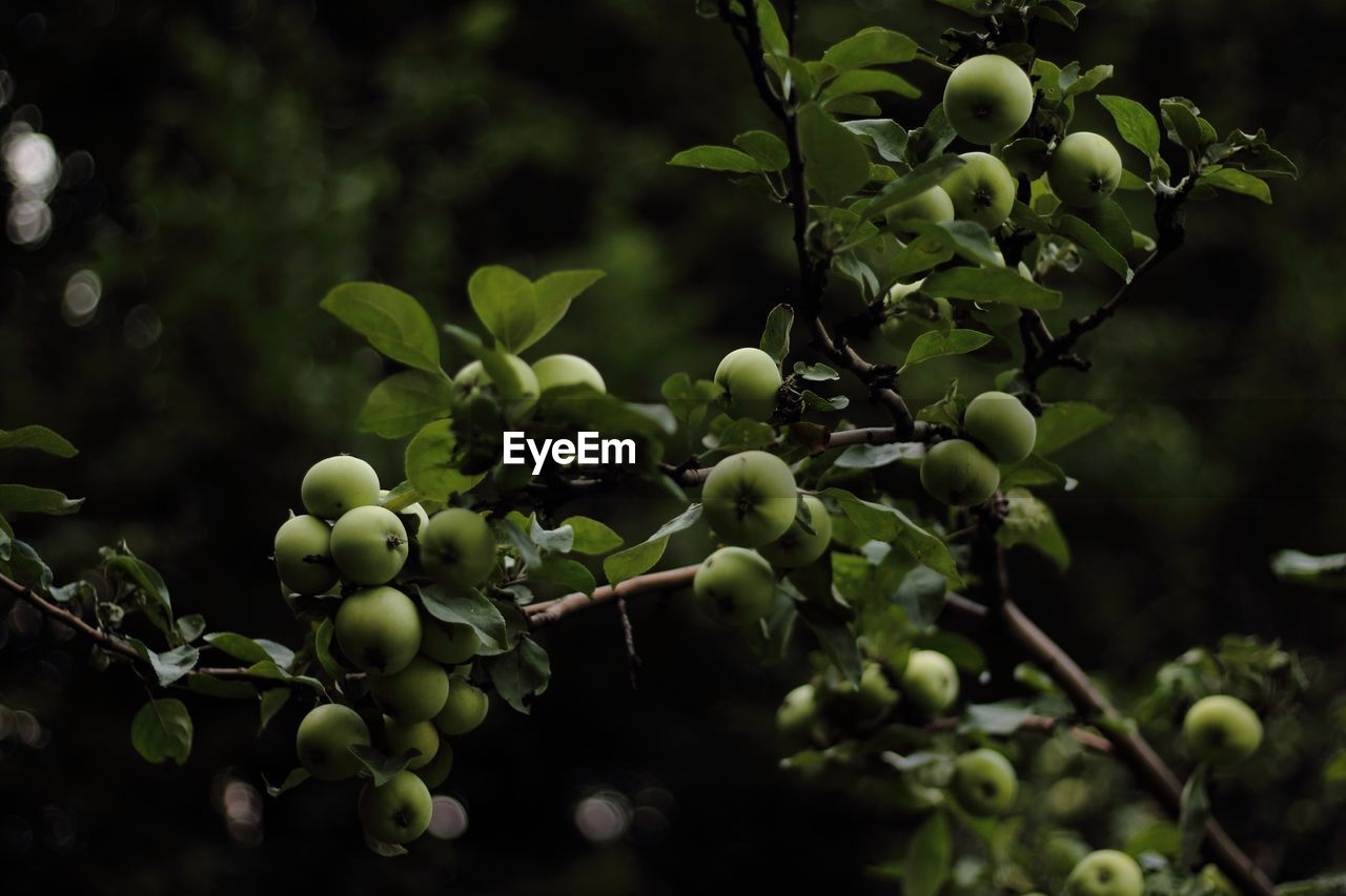 Close-Up Of Green Apples Growing On Tree