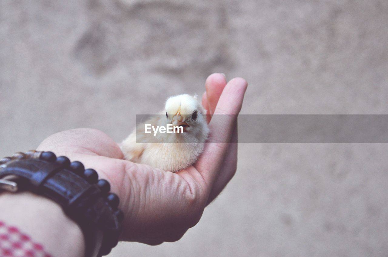 Cropped Hand Of Person Holding Bird