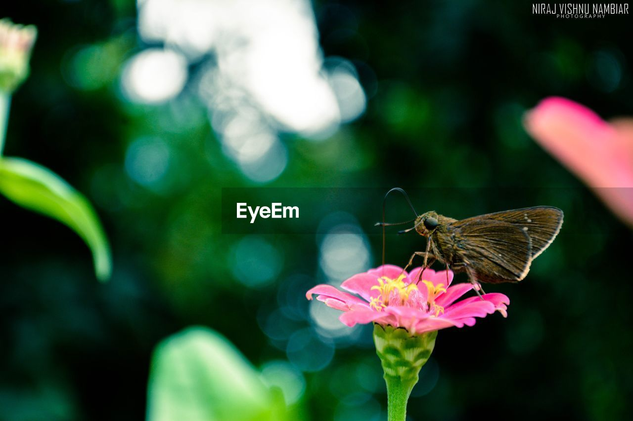 insect, animals in the wild, focus on foreground, animal themes, one animal, flower, fragility, nature, butterfly - insect, no people, outdoors, day, freshness, butterfly, animal wildlife, growth, beauty in nature, close-up, flower head, perching, pollination, spread wings, zinnia