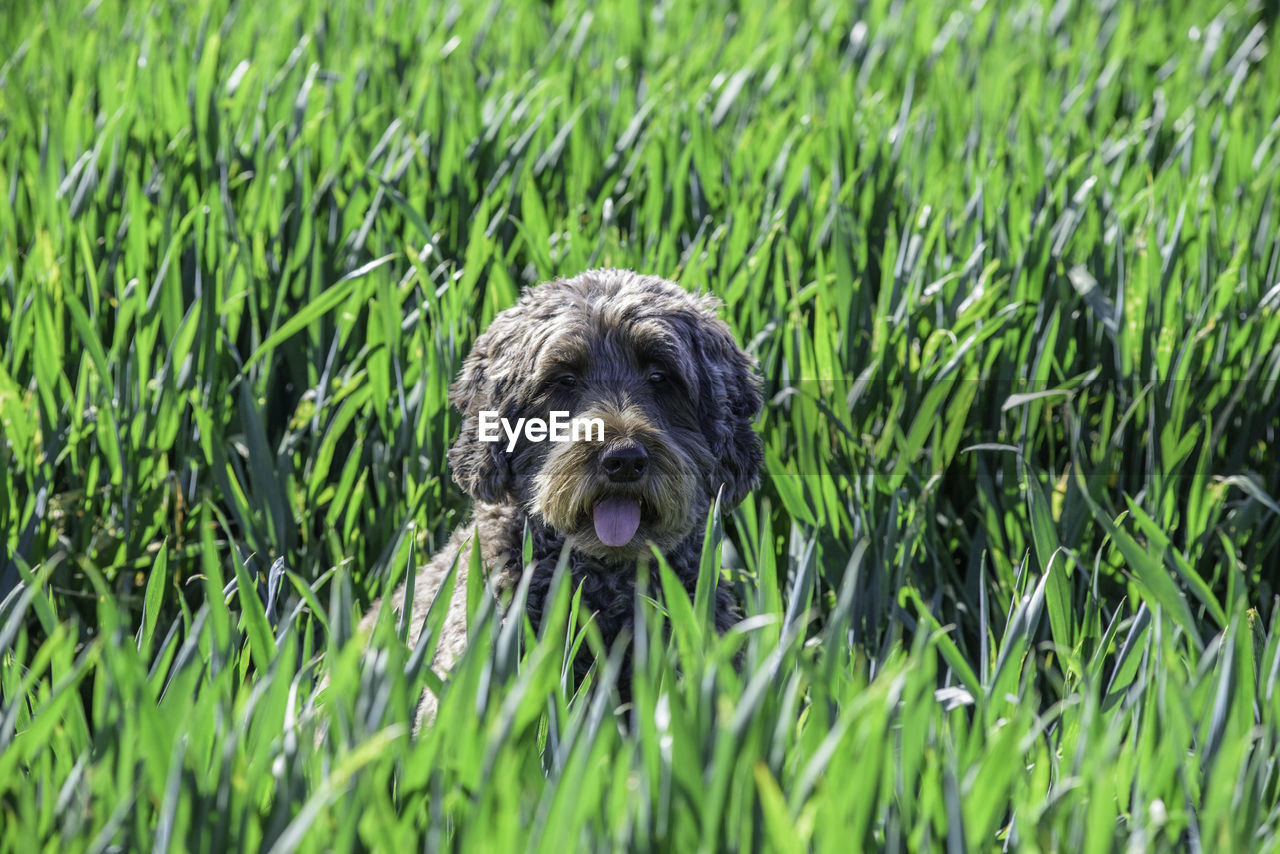 one animal, dog, canine, animal themes, animal, domestic, pets, mammal, domestic animals, plant, grass, green color, growth, vertebrate, field, nature, land, day, no people, portrait, outdoors, animal head