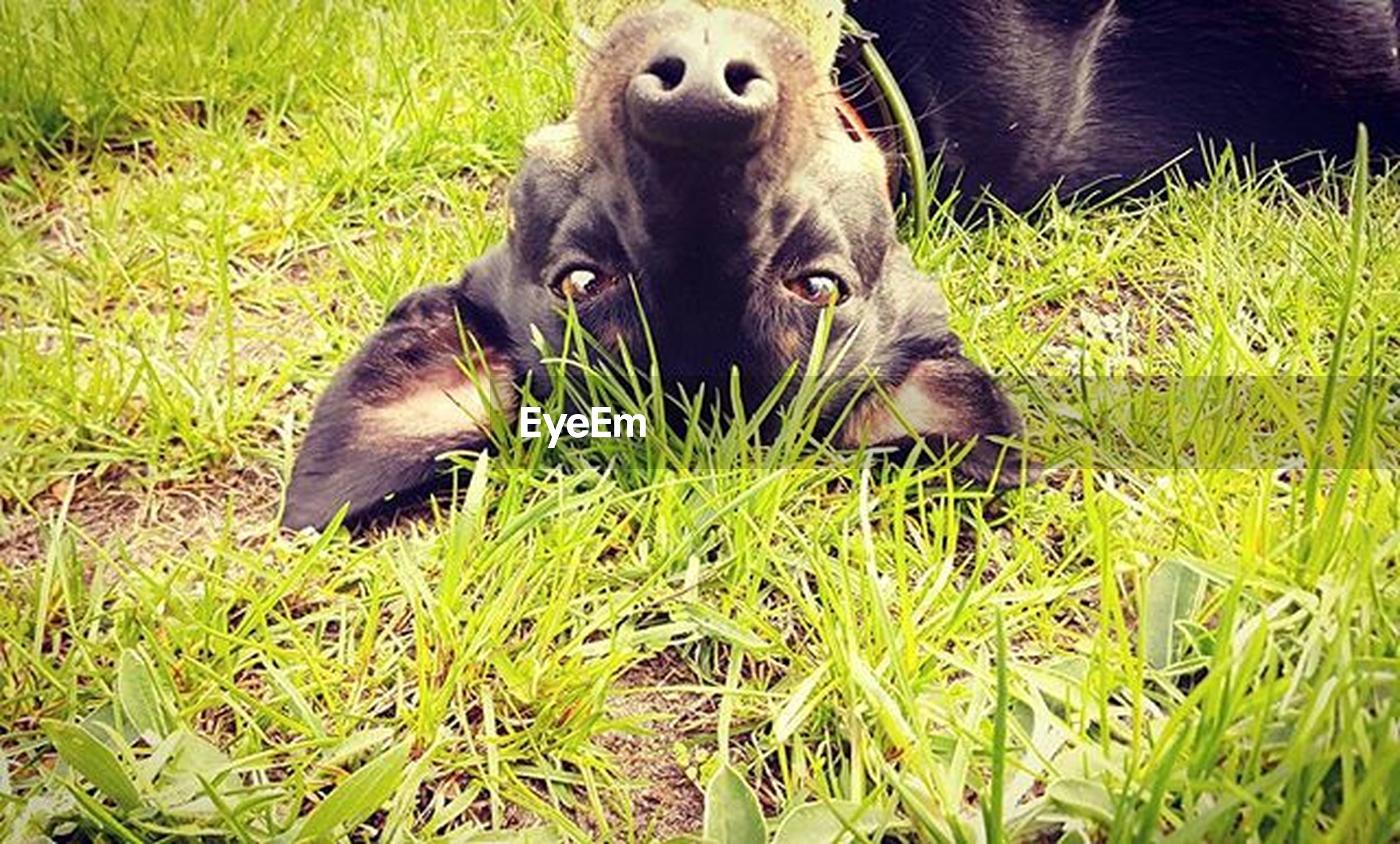 grass, animal themes, one animal, grassy, pets, field, domestic animals, dog, green color, mammal, looking at camera, black color, portrait, high angle view, relaxation, nature, young animal, growth, wildlife, close-up