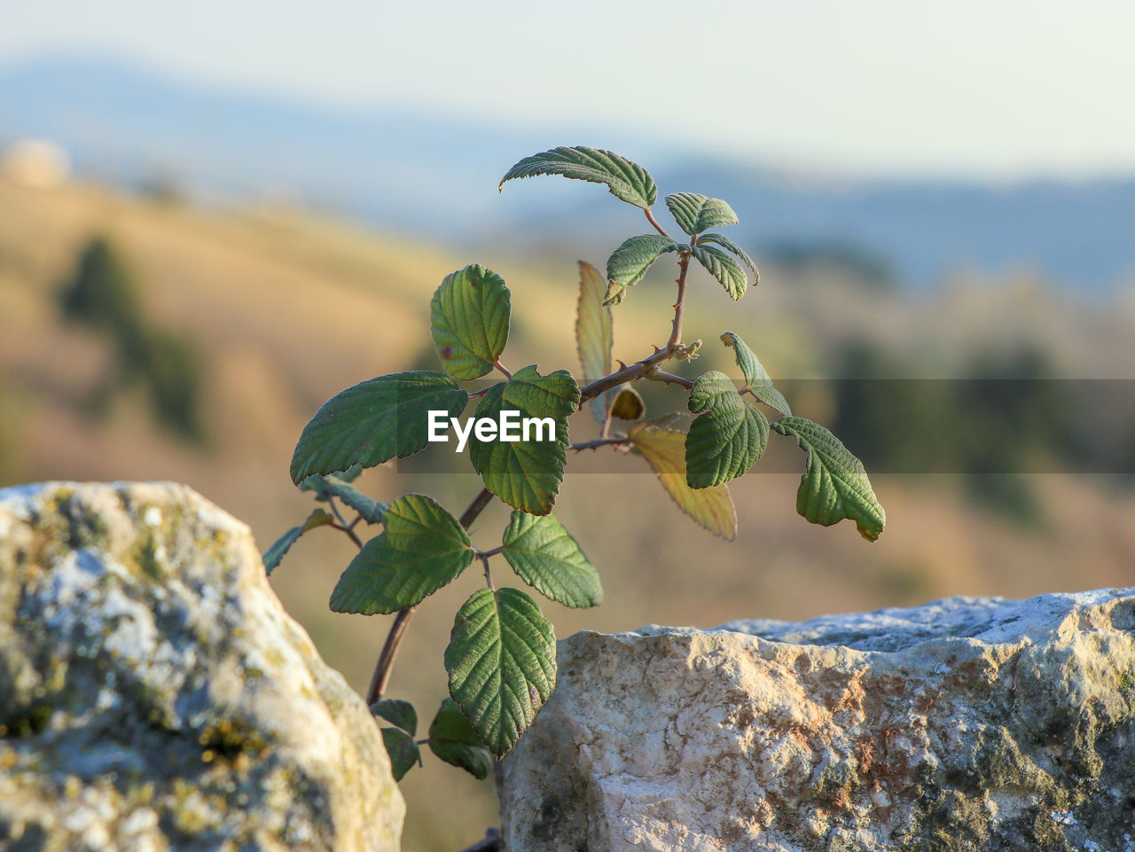 focus on foreground, growth, leaf, plant, plant part, close-up, nature, beauty in nature, no people, rock, day, rock - object, solid, outdoors, green color, freshness, selective focus, sunlight, food, botany