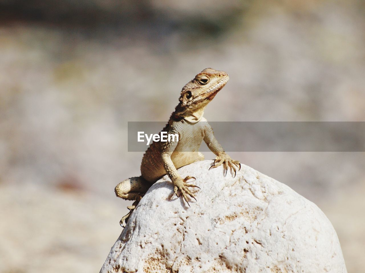 one animal, animals in the wild, rock - object, solid, animal wildlife, animal themes, rock, lizard, animal, focus on foreground, reptile, close-up, no people, day, nature, vertebrate, outdoors, zoology, bearded dragon, side view, iguana
