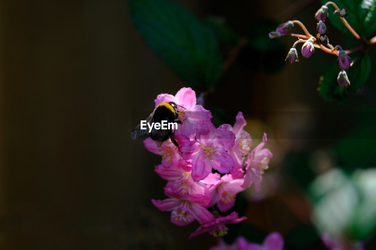 flower, flowering plant, freshness, fragility, plant, vulnerability, insect, invertebrate, animal themes, animals in the wild, beauty in nature, petal, flower head, animal wildlife, animal, one animal, growth, bee, close-up, pink color, pollination, no people, bumblebee, purple