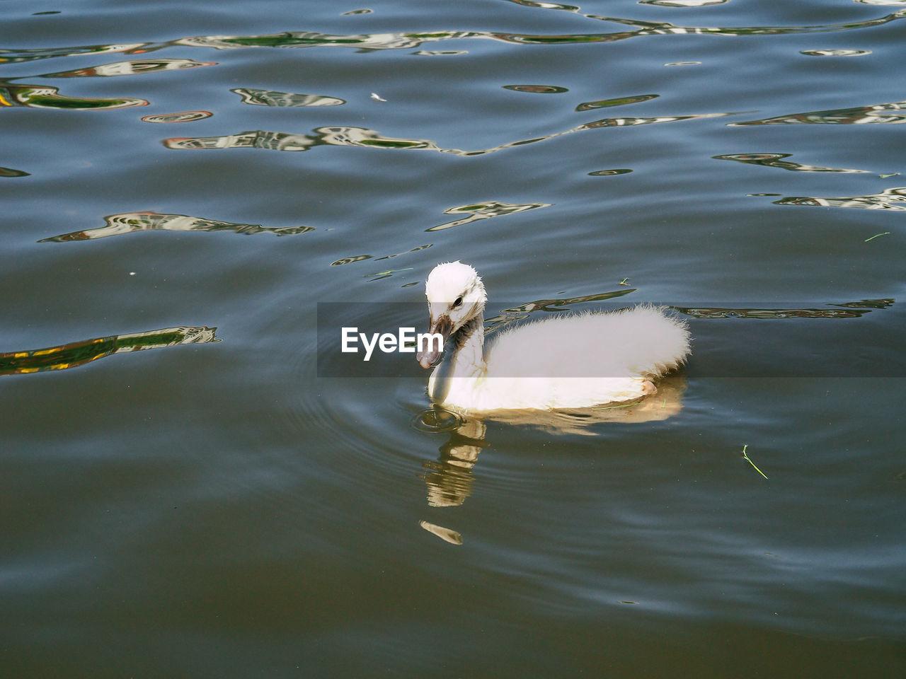 Close-Up Of Cygnet Swimming At Lake