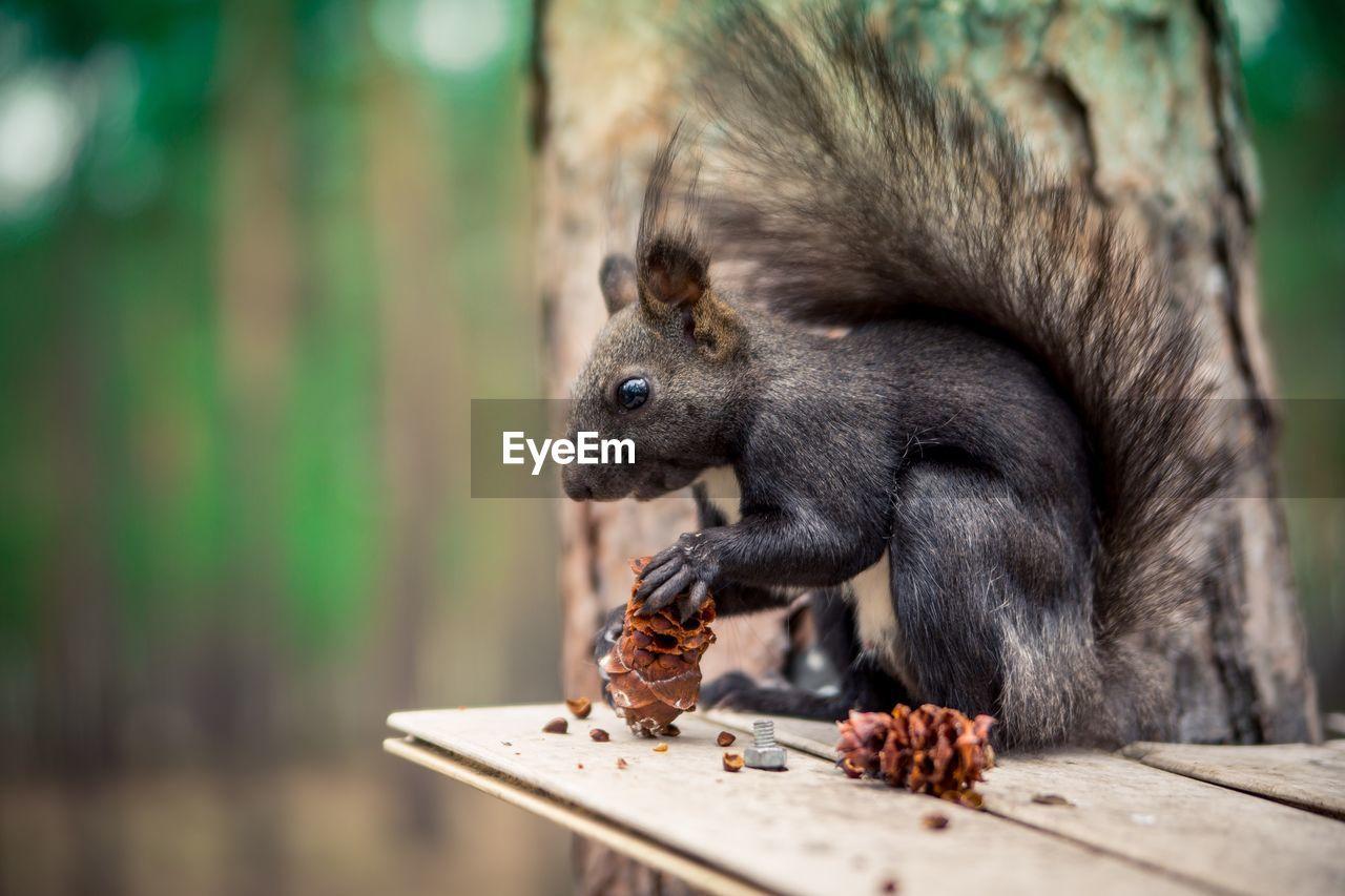 Close-up of squirrel eating pinecones