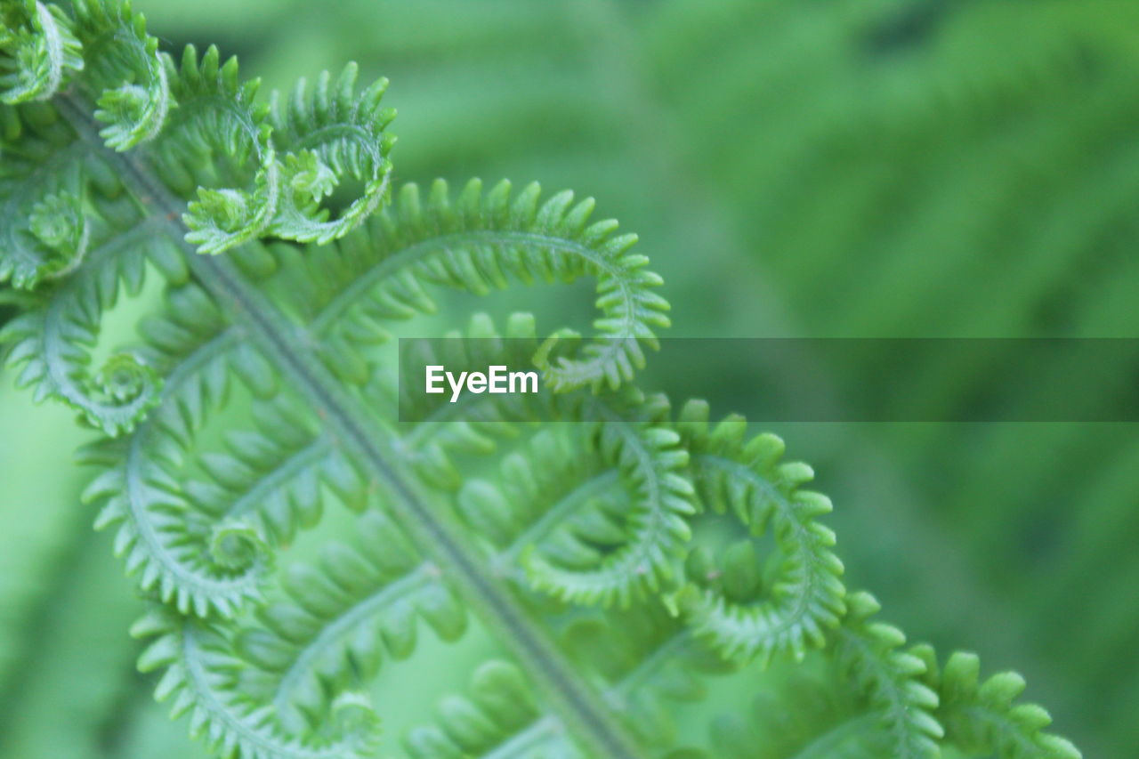 green color, leaf, plant, growth, close-up, nature, beauty in nature, focus on foreground, freshness, day, no people, fragility, fern, outdoors, branch