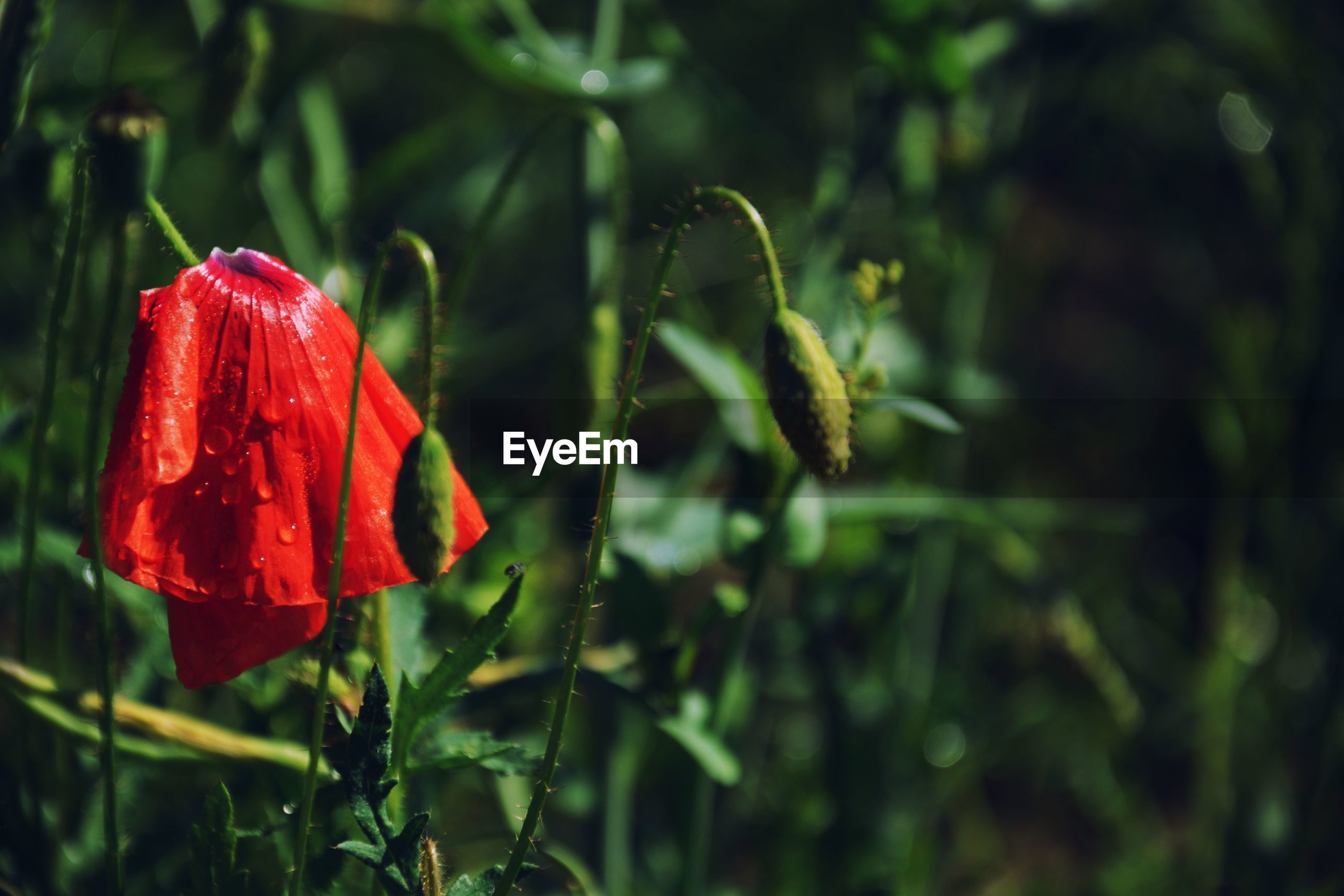 CLOSE-UP OF RED FLOWER ON PLANT