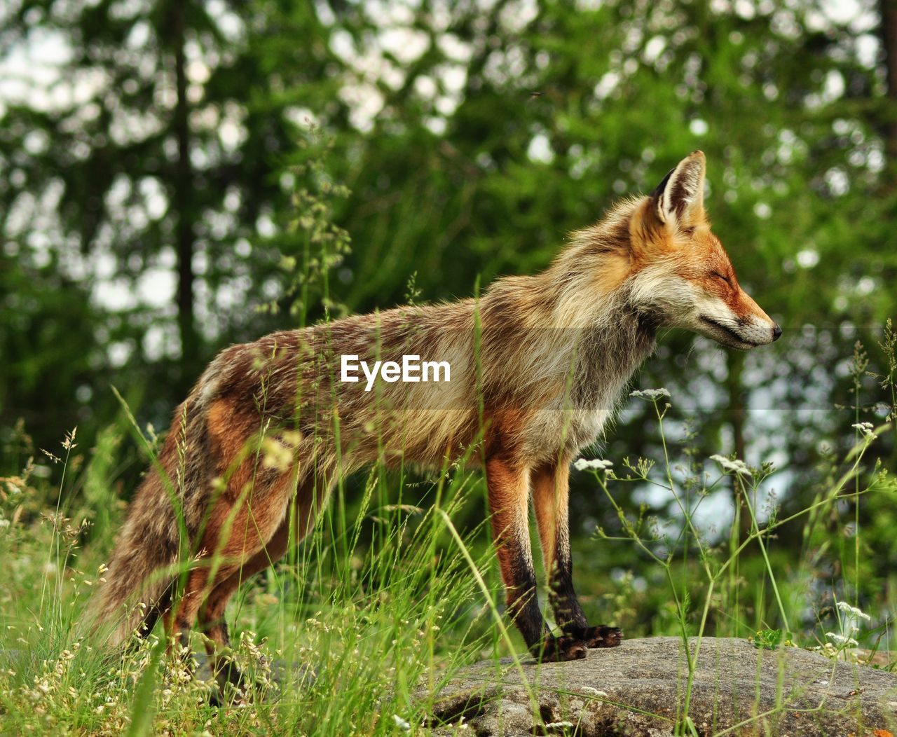 Side View Of Fox Standing In Forest