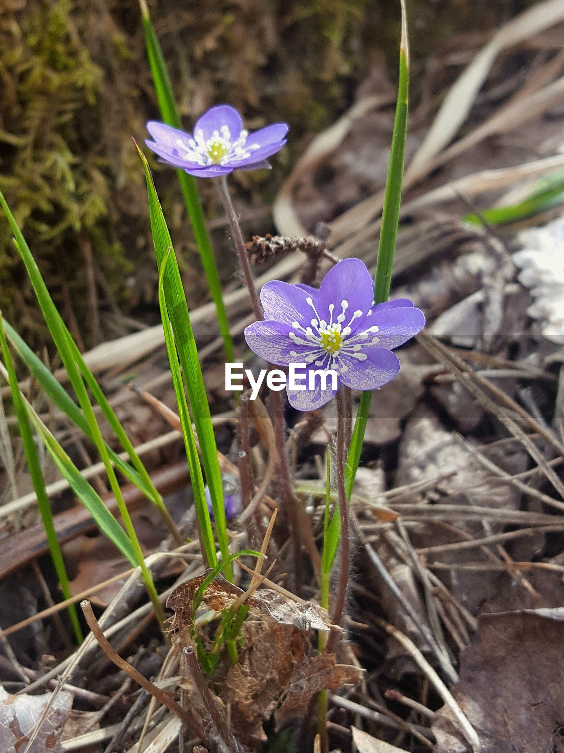 HIGH ANGLE VIEW OF PURPLE CROCUS FLOWER