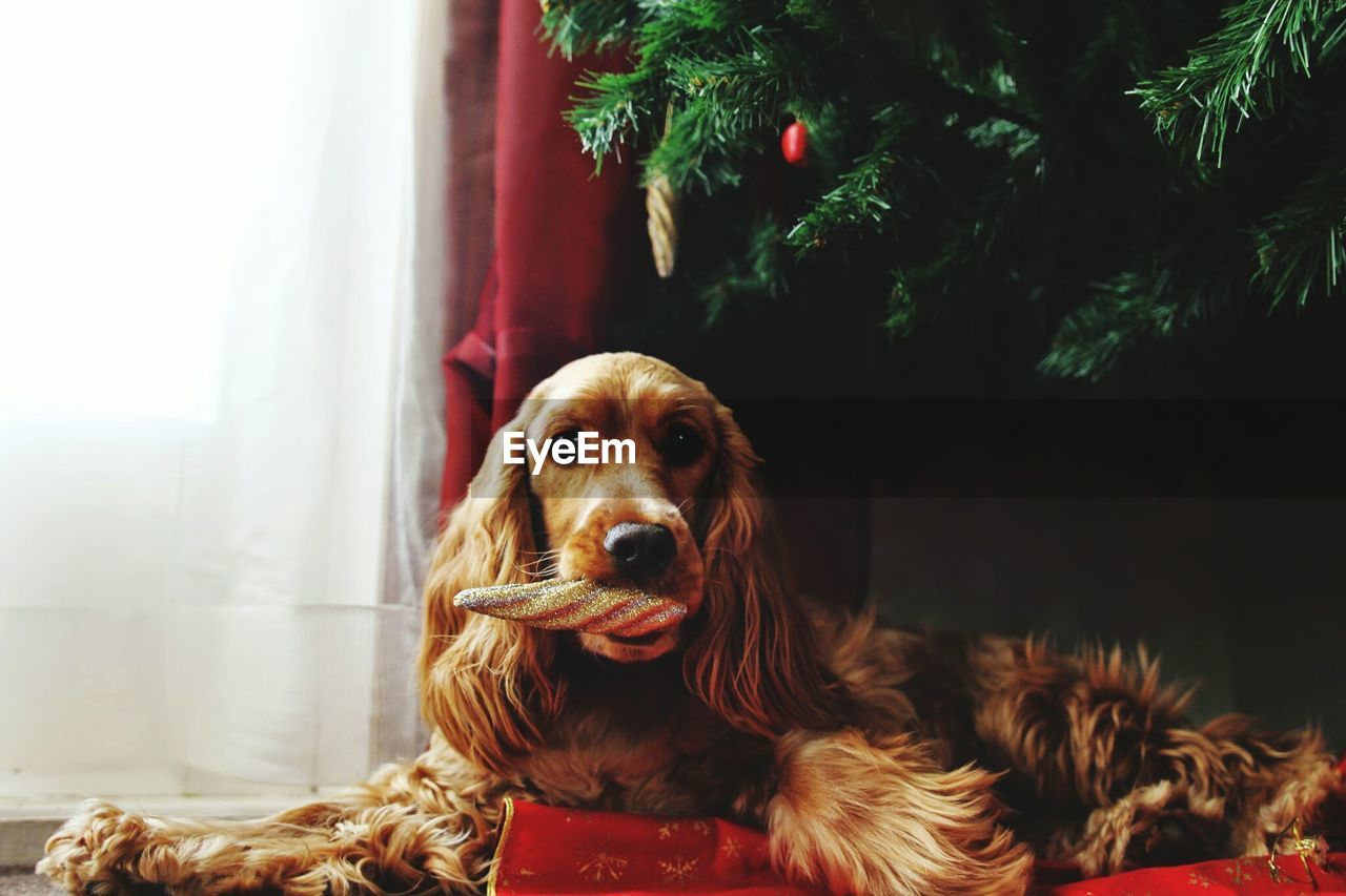 Portrait Of Brown Cocker Spaniel Relaxing With Christmas Ornament At Home