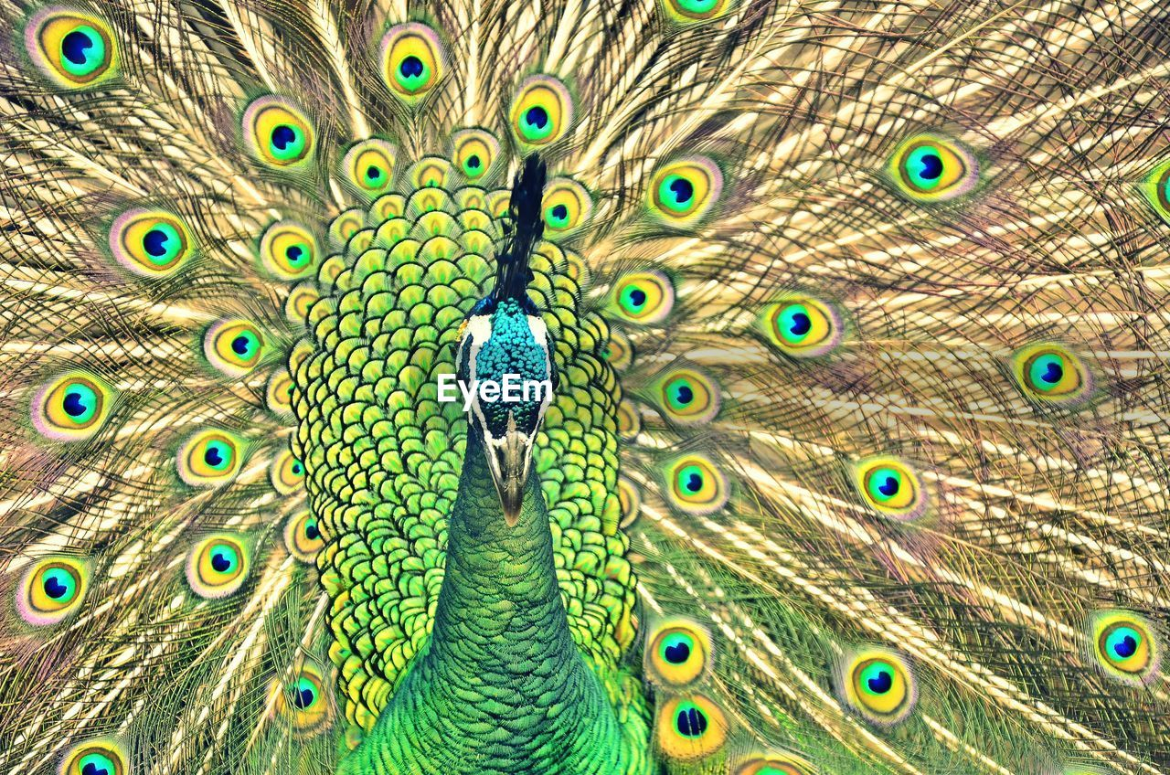 peacock, peacock feather, fanned out, feather, bird, animal wildlife, one animal, animal themes, animals in the wild, multi colored, looking at camera, close-up, animal head, beauty in nature, pride, portrait, front view, nature, blue, beak, day, outdoors, no people, vanity