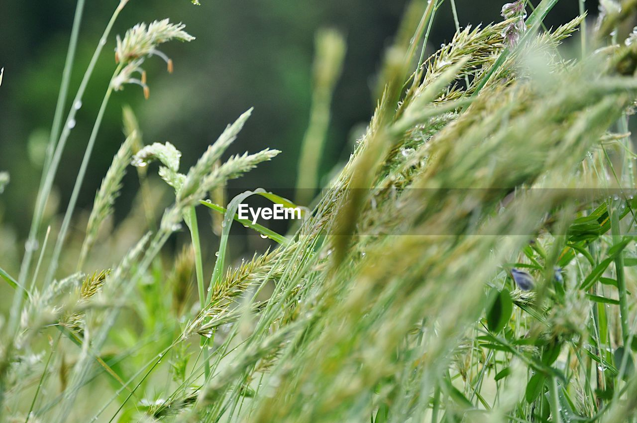 plant, growth, selective focus, green color, beauty in nature, land, field, nature, close-up, day, no people, grass, tranquility, outdoors, agriculture, freshness, crop, sunlight, fragility, vulnerability, blade of grass
