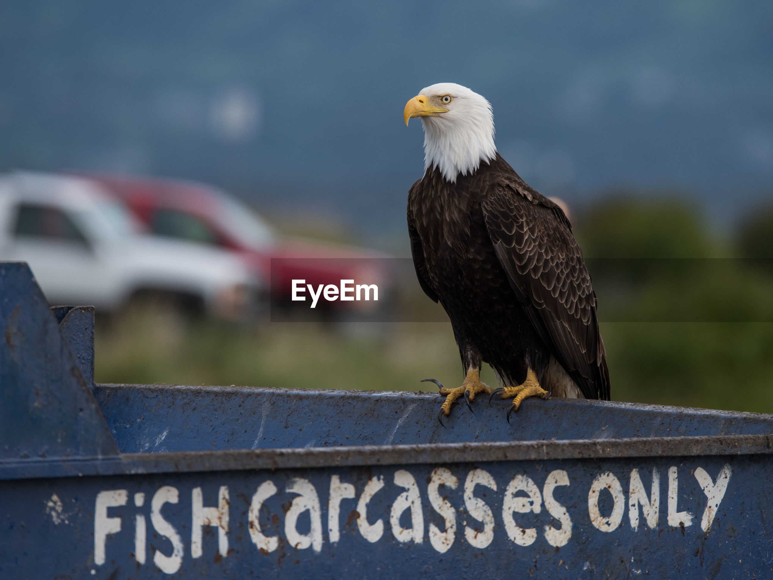 Bald eagle perching on metal with text