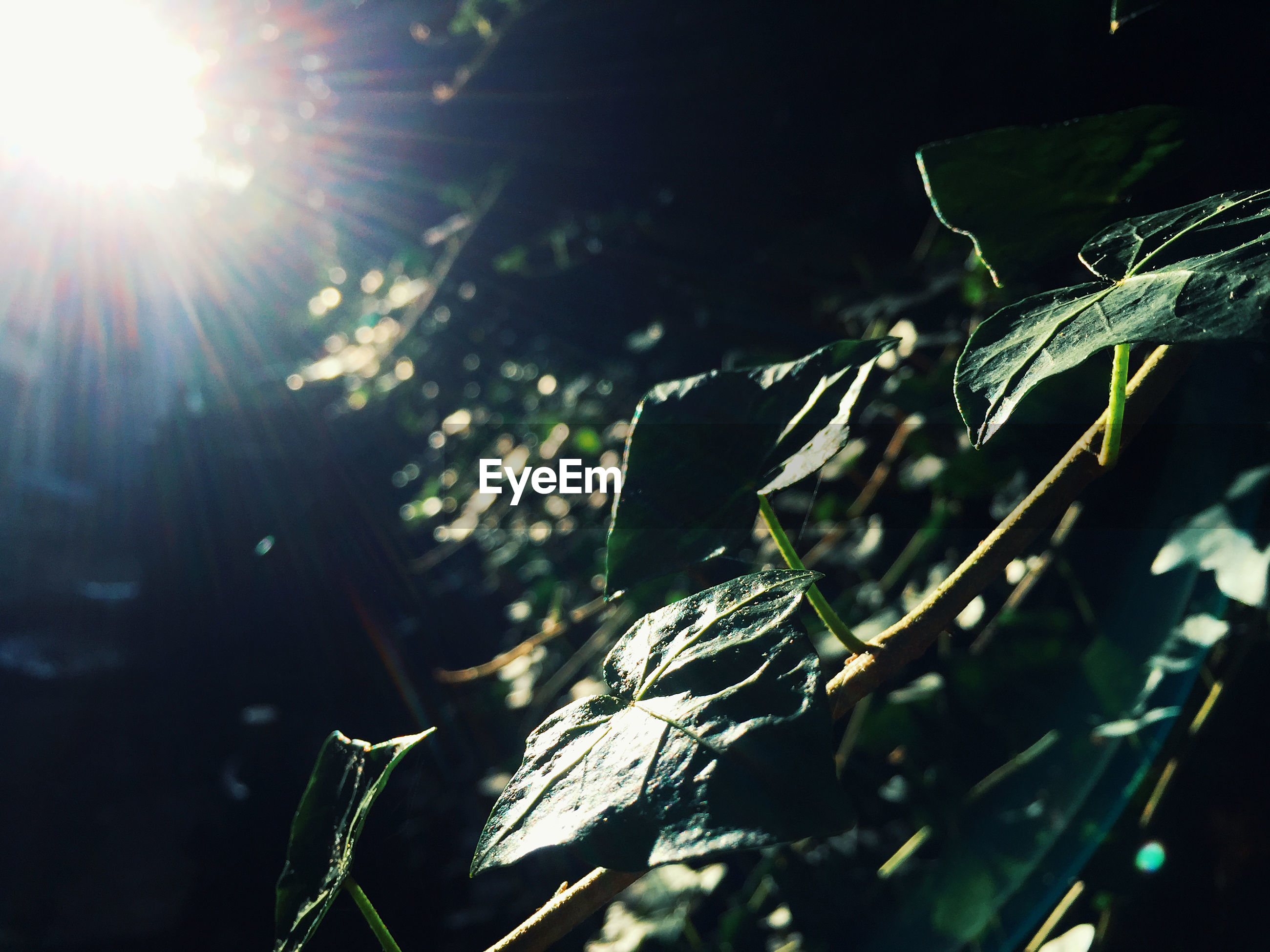 SUNLIGHT STREAMING THROUGH TREE LEAVES