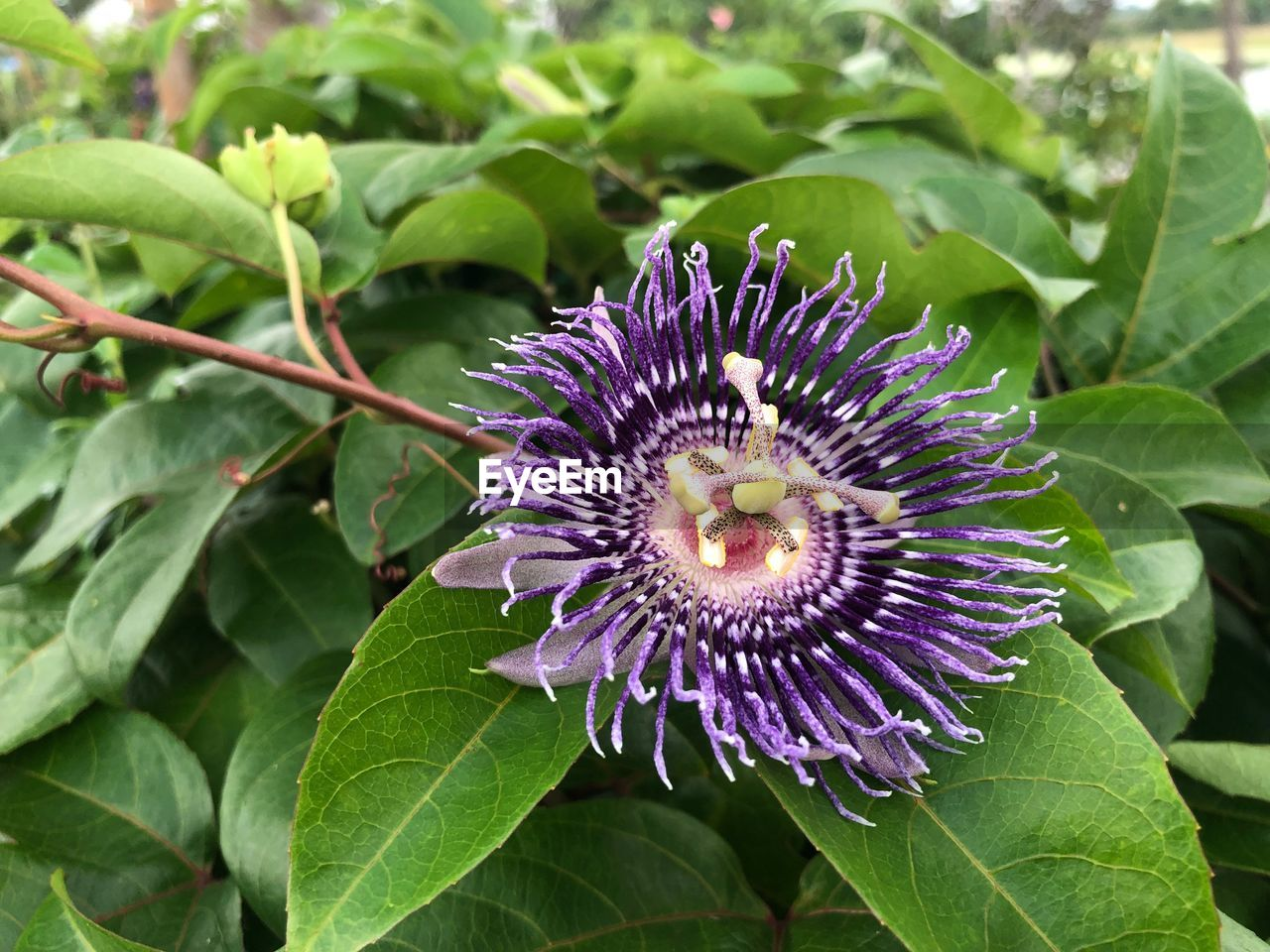 plant, flower, flowering plant, leaf, growth, plant part, beauty in nature, freshness, fragility, vulnerability, close-up, petal, inflorescence, flower head, green color, passion flower, nature, purple, day, no people, pollen, outdoors