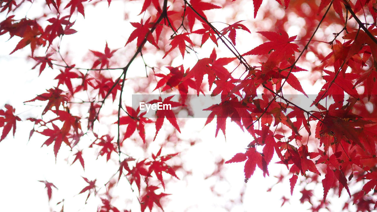 branch, plant, tree, beauty in nature, change, autumn, plant part, leaf, red, no people, growth, maple tree, day, nature, maple leaf, close-up, low angle view, focus on foreground, outdoors, tranquility, leaves, natural condition
