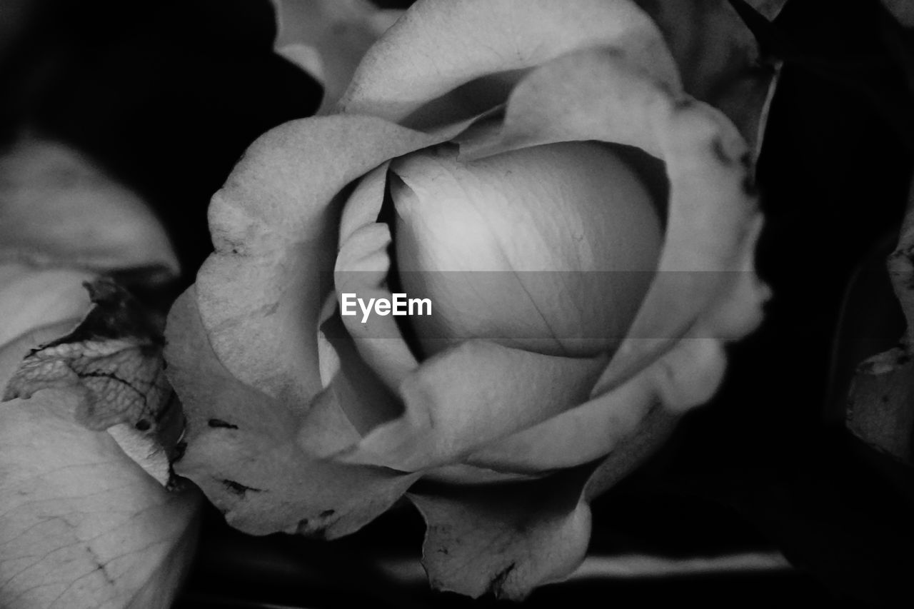 flowering plant, close-up, flower, freshness, plant, beauty in nature, petal, fragility, inflorescence, vulnerability, growth, flower head, no people, nature, rose, day, rose - flower, outdoors, botany, focus on foreground