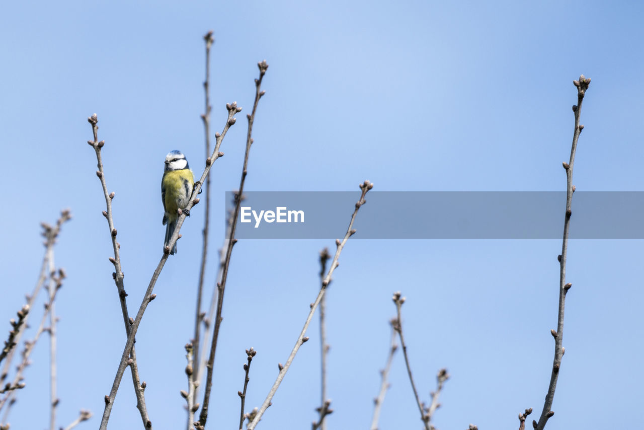 bird, animal themes, vertebrate, animal, animals in the wild, animal wildlife, perching, one animal, low angle view, tree, clear sky, branch, sky, plant, no people, day, blue, nature, focus on foreground, outdoors