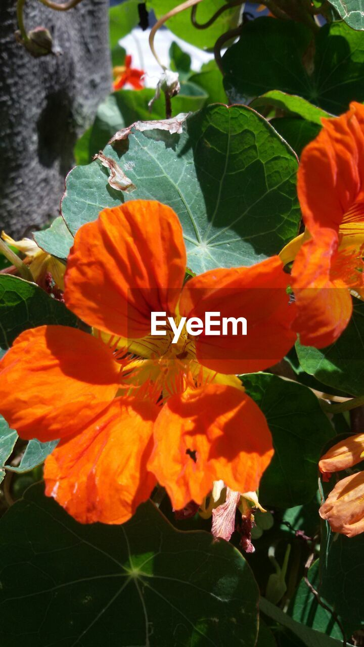 flower, orange color, petal, leaf, beauty in nature, plant, fragility, freshness, growth, nature, outdoors, no people, day, flower head, blooming, close-up, hibiscus