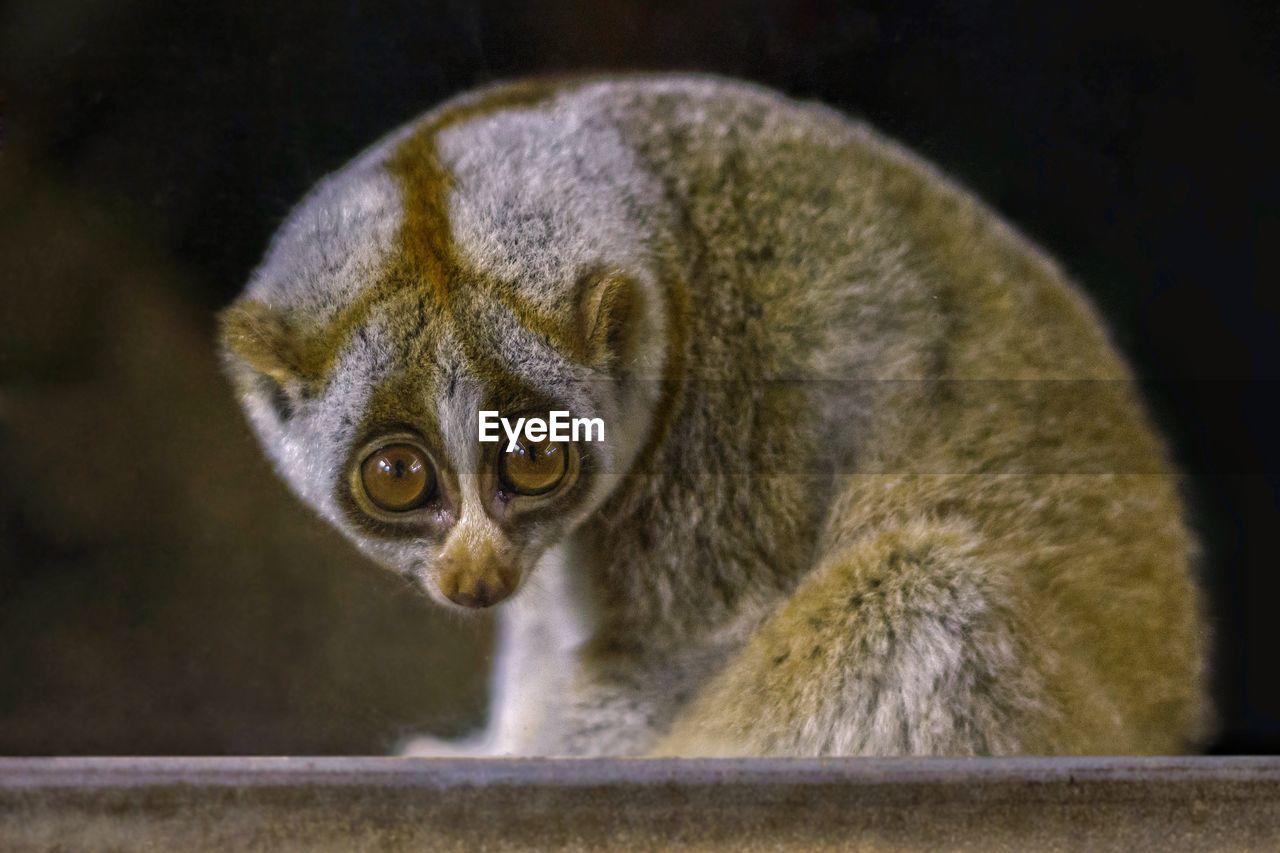 mammal, one animal, animal wildlife, primate, focus on foreground, portrait, close-up, people, animals in the wild, vertebrate, hair, lemur, looking, looking at camera, nature, indoors