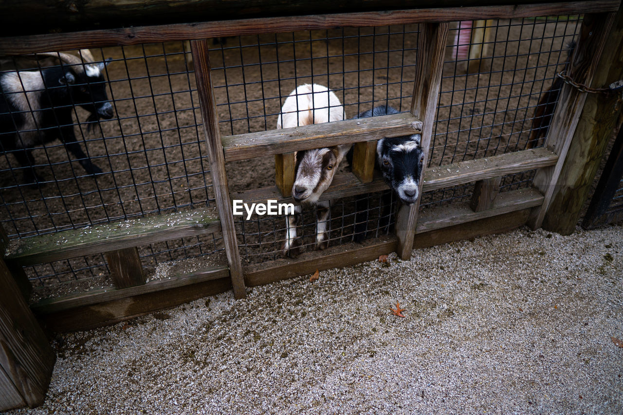 pets, domestic animals, animal, domestic, animal themes, mammal, one animal, livestock, vertebrate, day, indoors, cage, no people, architecture, herbivorous, dog, canine, farm, animal wildlife, stable, animal pen, animal head