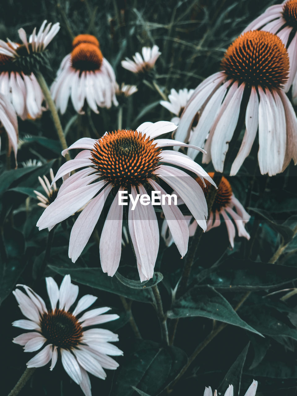 flower, flowering plant, fragility, plant, vulnerability, petal, growth, coneflower, flower head, inflorescence, freshness, beauty in nature, close-up, pollen, focus on foreground, no people, nature, day, white color, outdoors