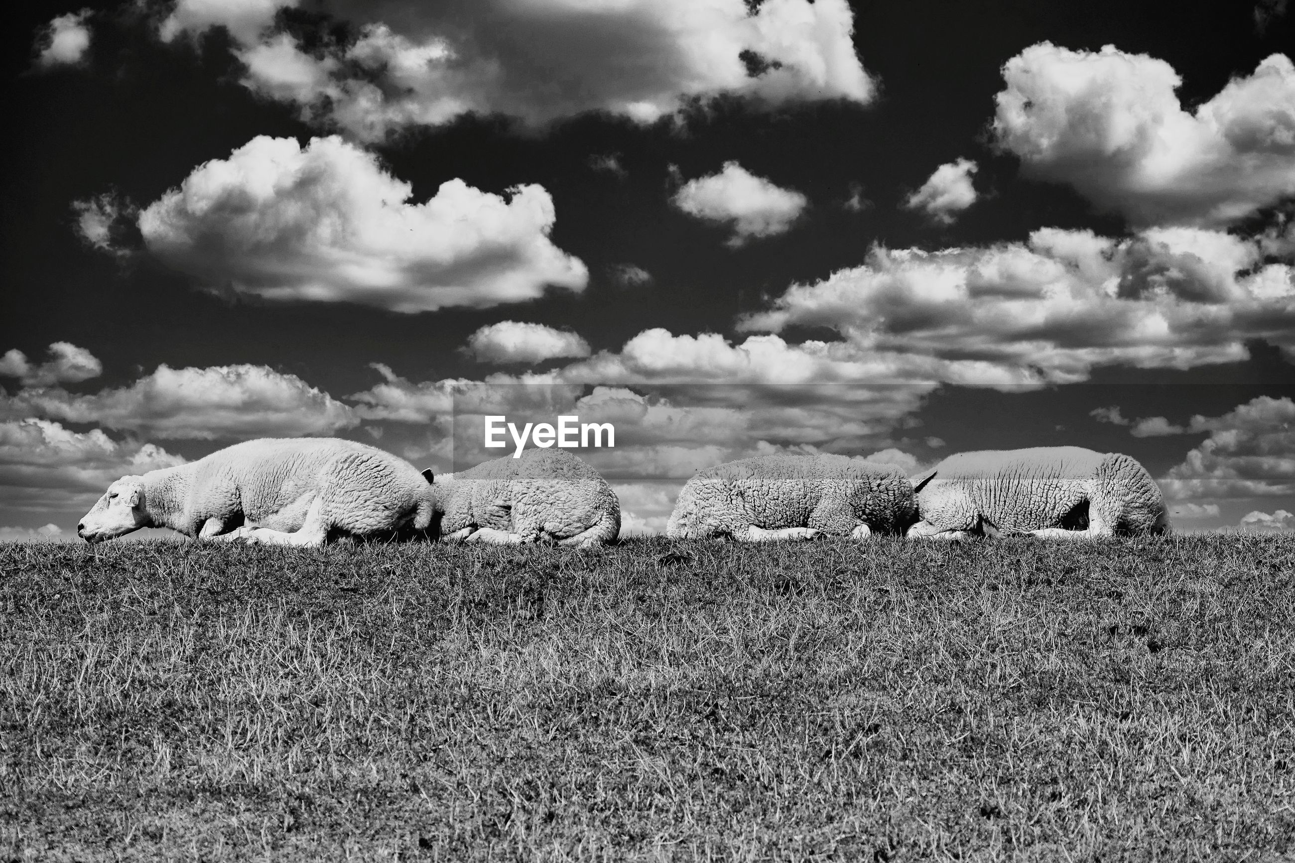 VIEW OF SHEEP ON FIELD BY LAND