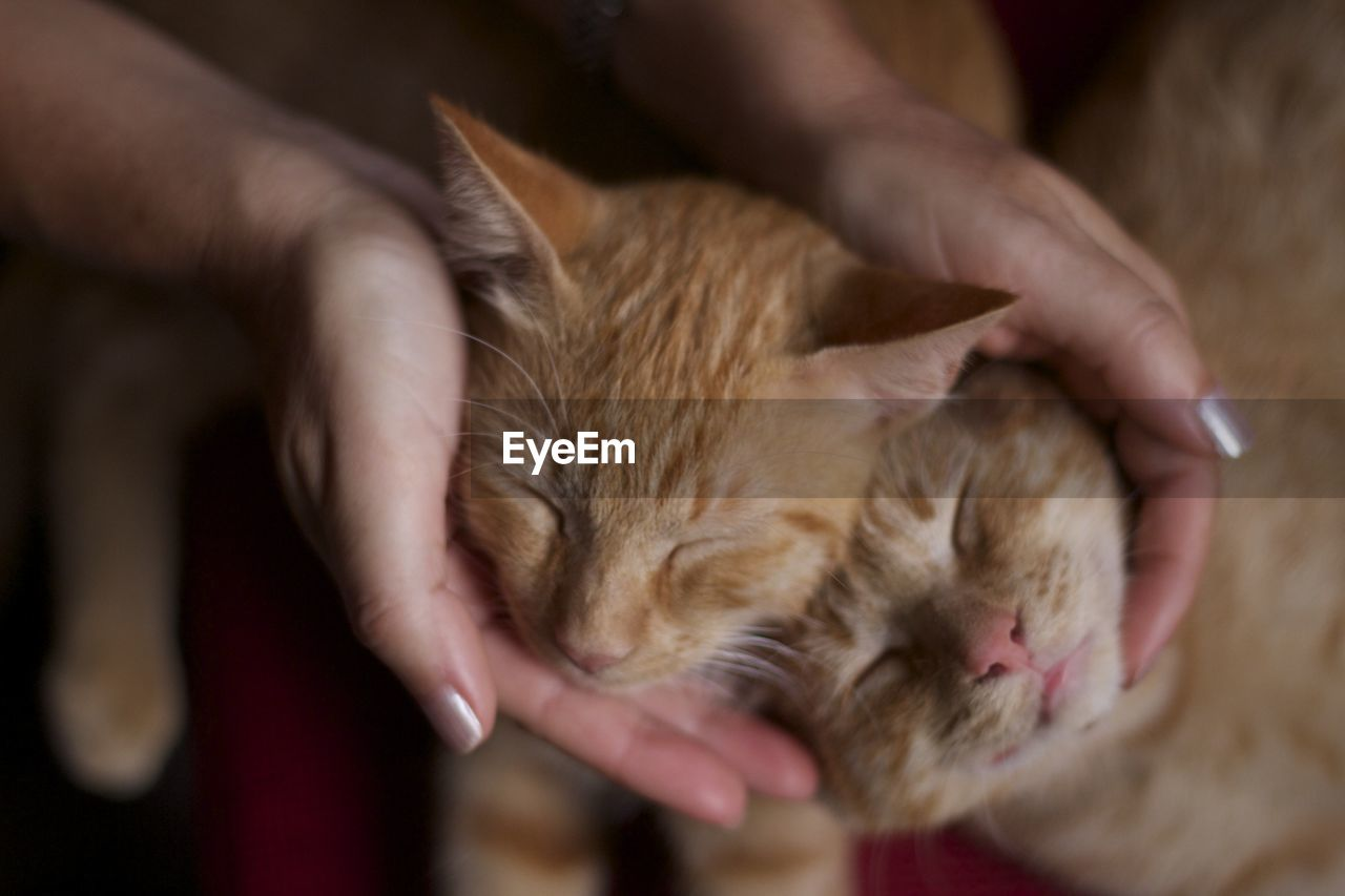 mammal, human hand, hand, domestic, cat, pets, one animal, domestic cat, domestic animals, feline, real people, vertebrate, one person, human body part, eyes closed, lifestyles, unrecognizable person, finger, care, whisker, pet owner