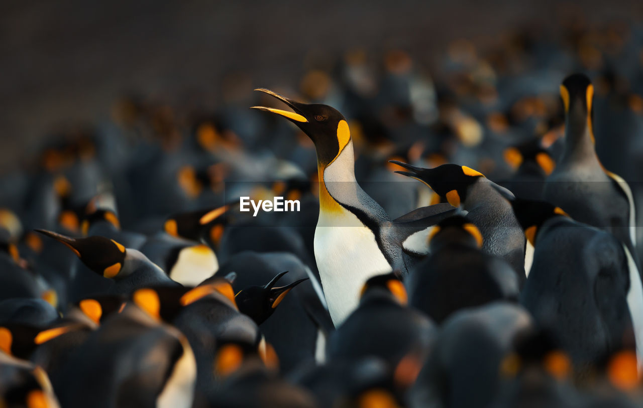 group of animals, animal wildlife, animals in the wild, vertebrate, no people, animal themes, animal, large group of animals, bird, nature, selective focus, beauty in nature, black color, day, orange color, outdoors, water, togetherness, focus on foreground, zoology, flock of birds