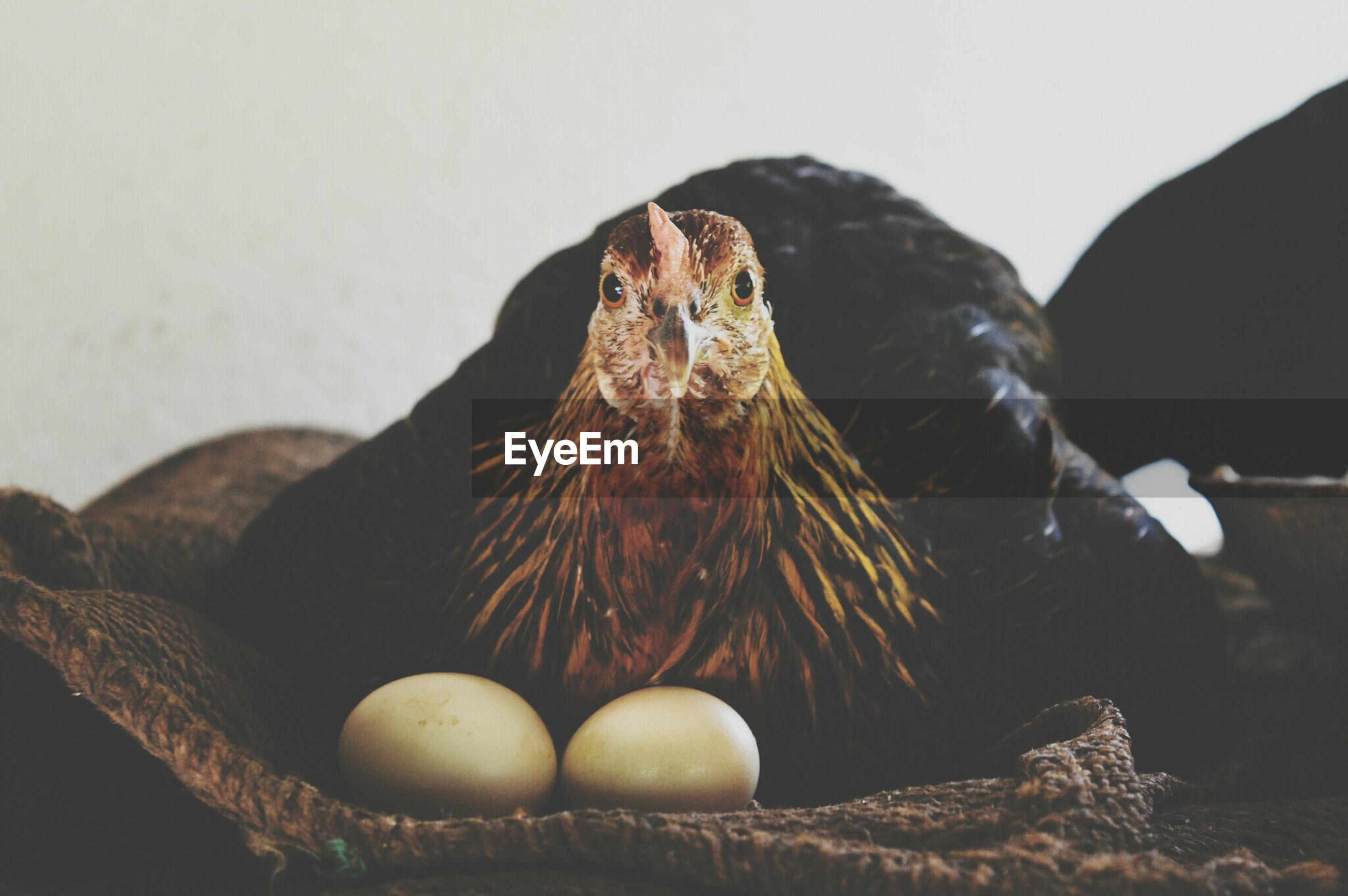 Close-up portrait of hen with eggs resting on sack