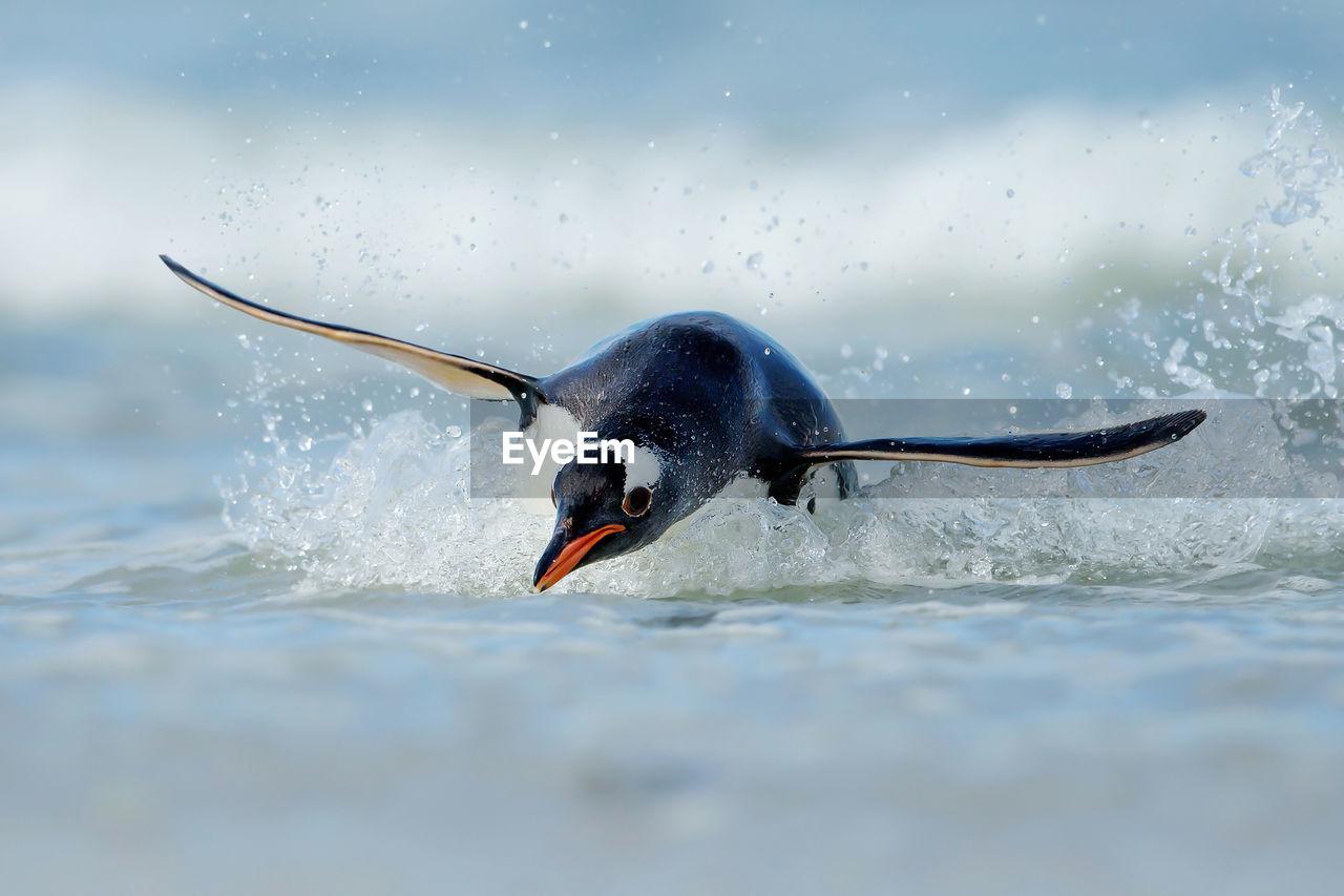 Penguin swimming in sea