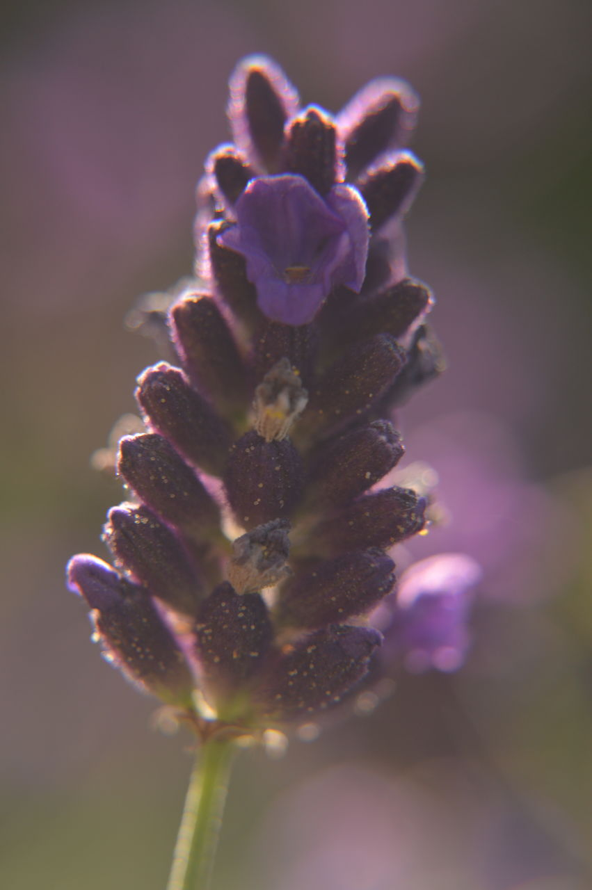 flowering plant, beauty in nature, flower, plant, vulnerability, fragility, close-up, growth, freshness, inflorescence, flower head, petal, nature, no people, selective focus, focus on foreground, day, purple, pink color, outdoors, pollen, springtime, softness
