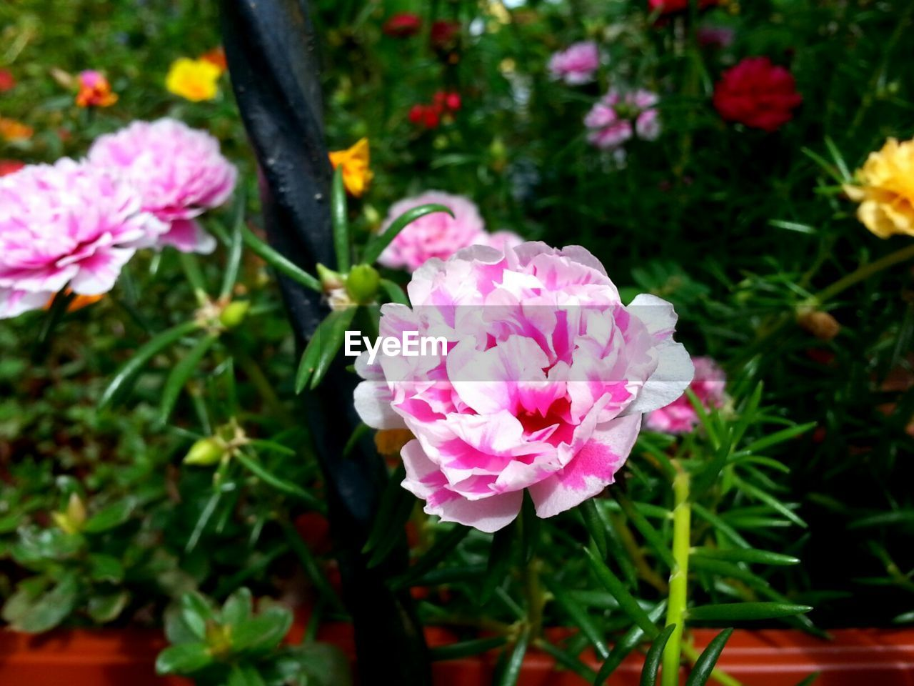 flower, growth, nature, plant, no people, pink color, beauty in nature, petal, blooming, outdoors, flower head, freshness, fragility, day, close-up