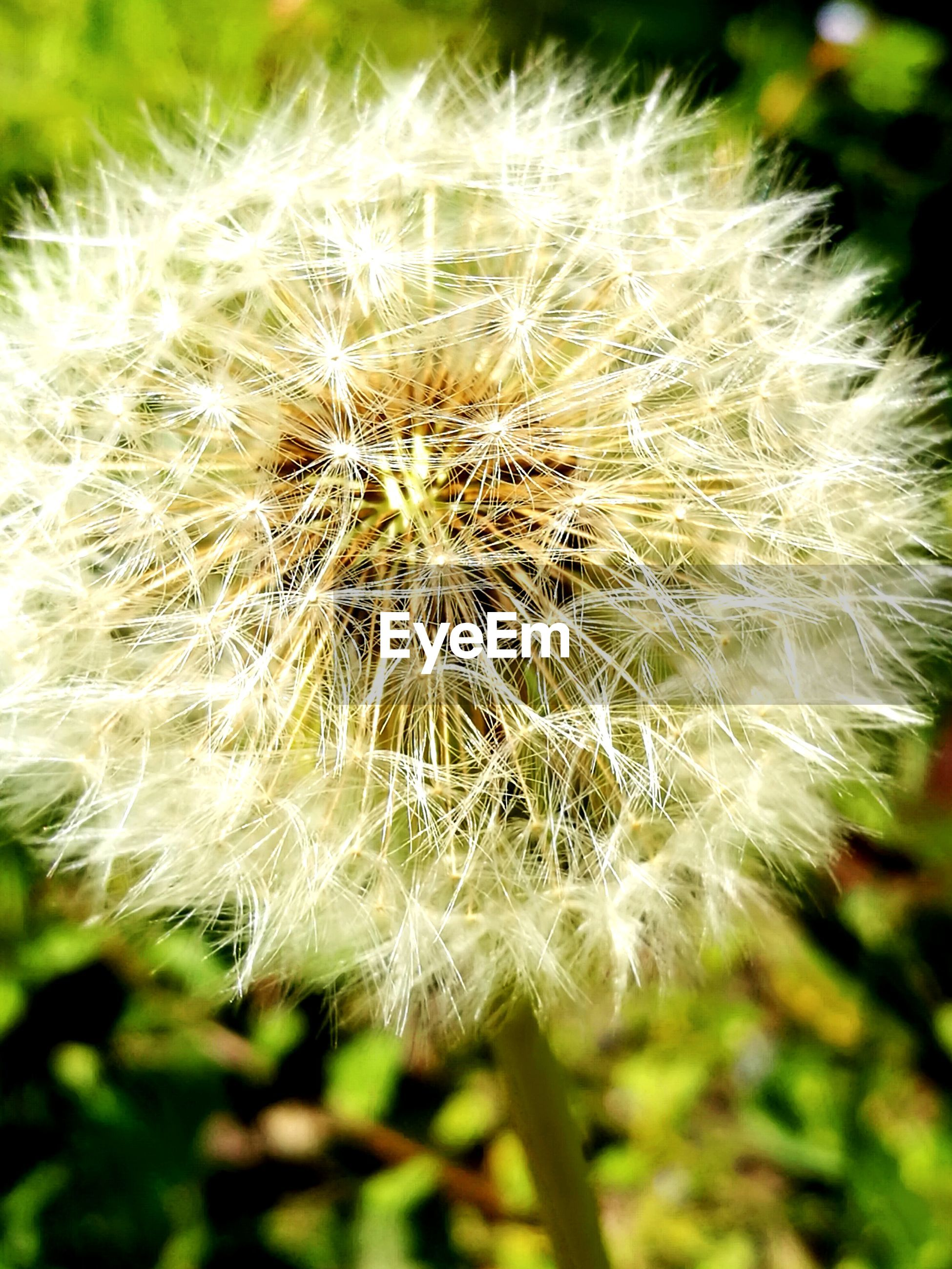 flower, fragility, dandelion, nature, growth, beauty in nature, close-up, flower head, focus on foreground, freshness, white color, softness, wildflower, plant, uncultivated, day, outdoors, no people