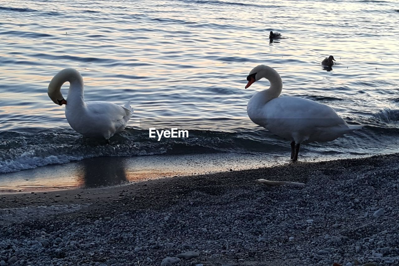 animals in the wild, animal themes, bird, water, nature, animal wildlife, lake, day, no people, outdoors, swan, beauty in nature, beach, swimming