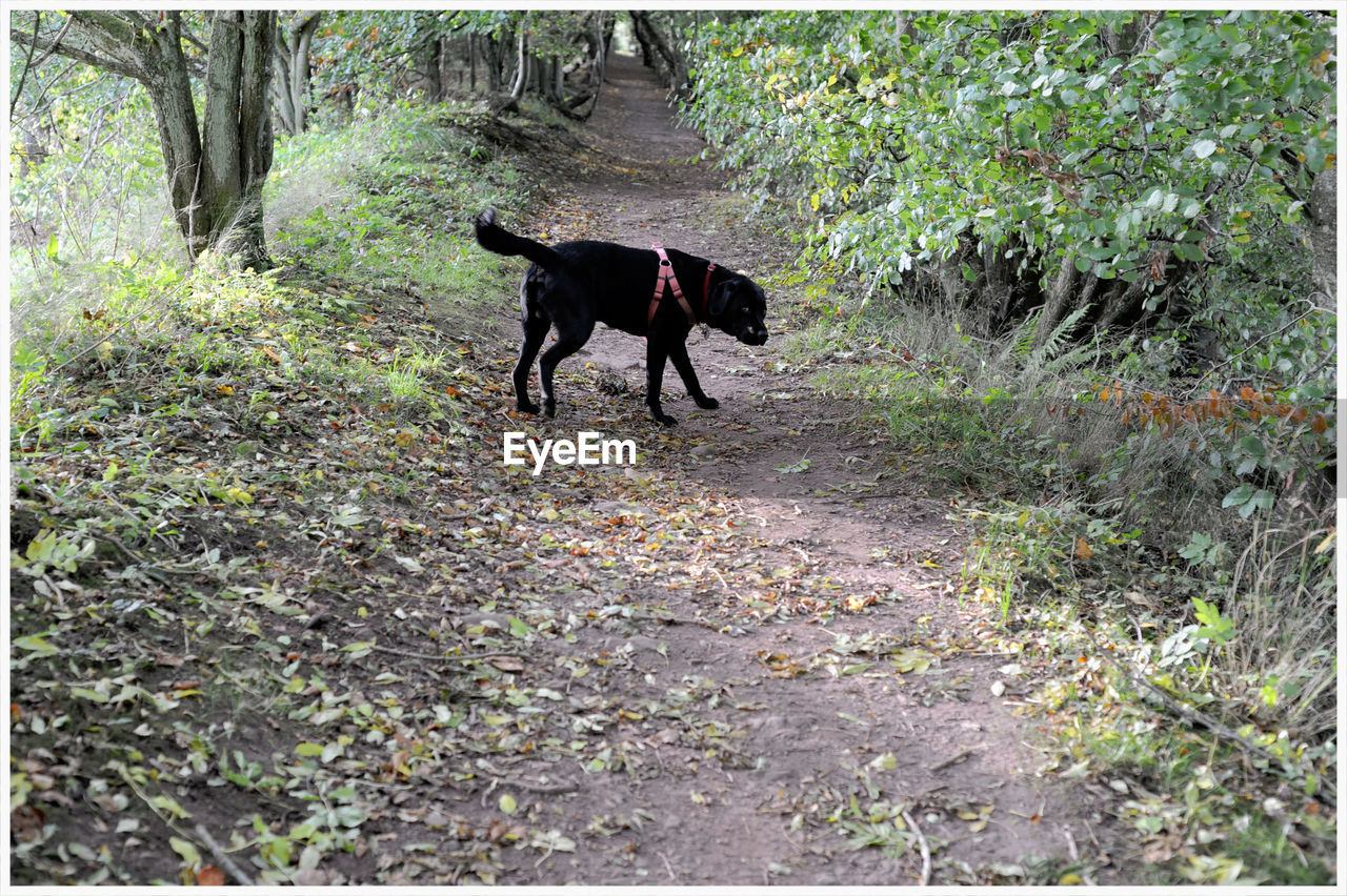 domestic animals, pets, animal themes, dog, one animal, nature, mammal, no people, outdoors, black color, day, black labrador, plant, full length, tree