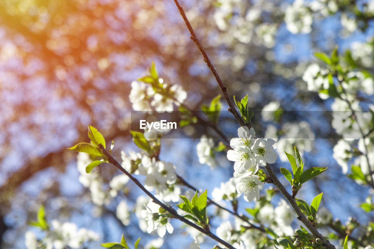 plant, growth, flower, flowering plant, fragility, freshness, tree, beauty in nature, vulnerability, branch, nature, day, no people, close-up, selective focus, low angle view, blossom, focus on foreground, sunlight, springtime, outdoors, cherry blossom, spring